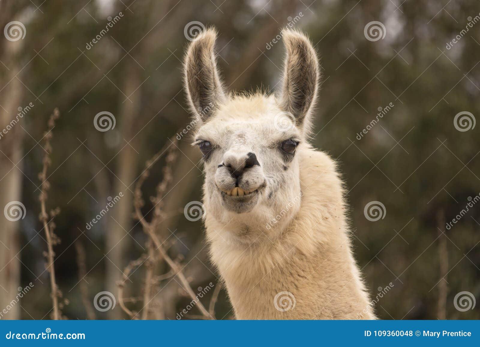 La Llama Chistosa Que Muestra Los Dientes Alpaca Agresiva Sonrisa