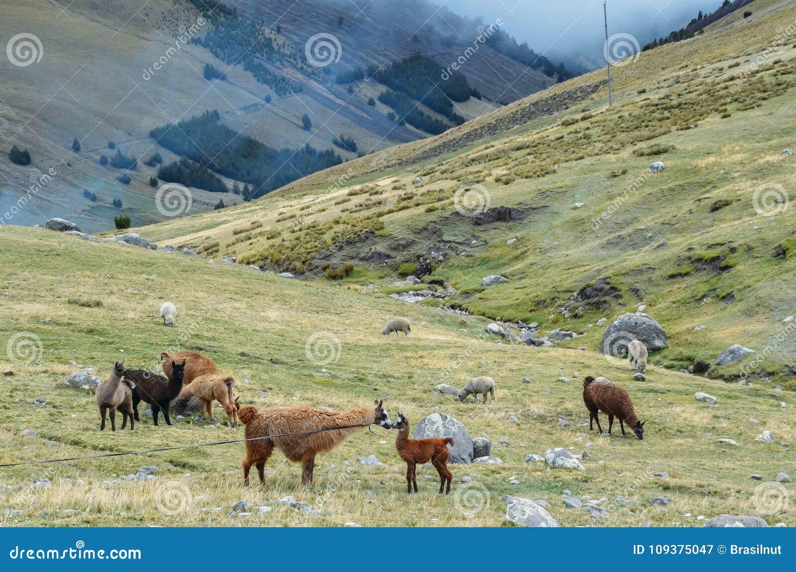 La llama es un camelid suramericano domesticado, ampliamente utilizado como una carne y animal de paquete por las culturas andina