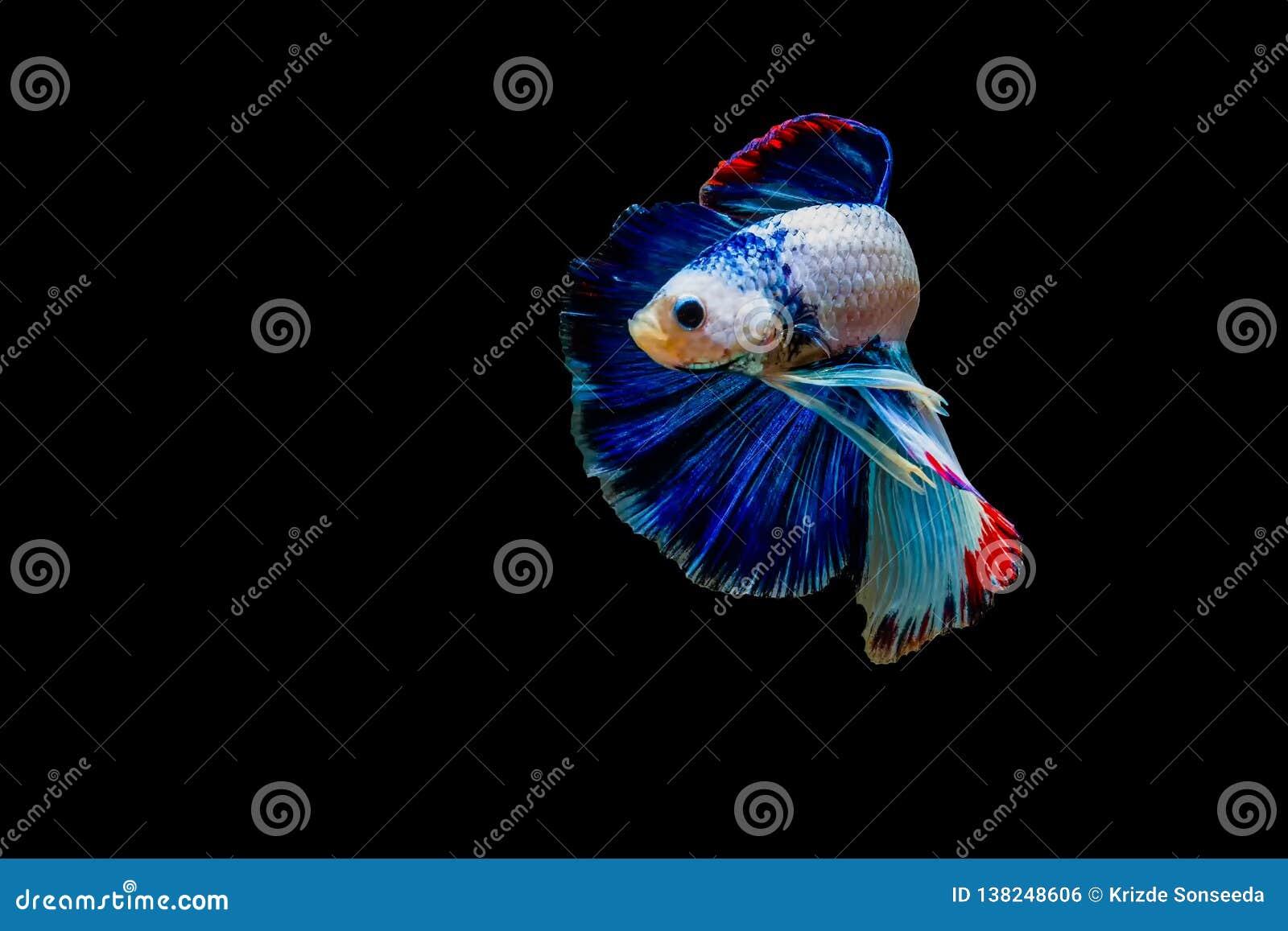 La lucha siamesa pesca aislado con el fondo negro