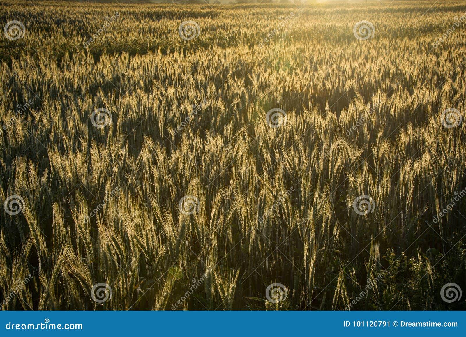 La luz de la madrugada de la salida del sol hace excursionismo el campo de trigo en una granja