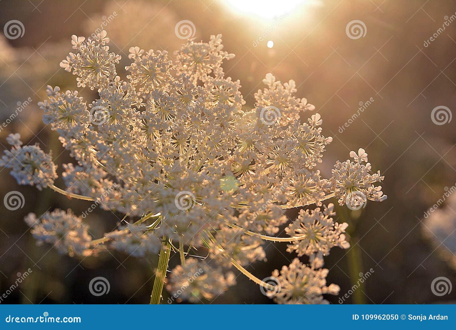 La luz del sol illumines la flor blanca, milenrama