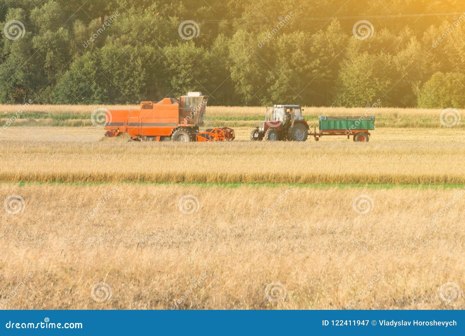 La máquina segador del grano recoge el trigo en el campo debajo del sol caliente, campo de trigo, cosecha del trigo