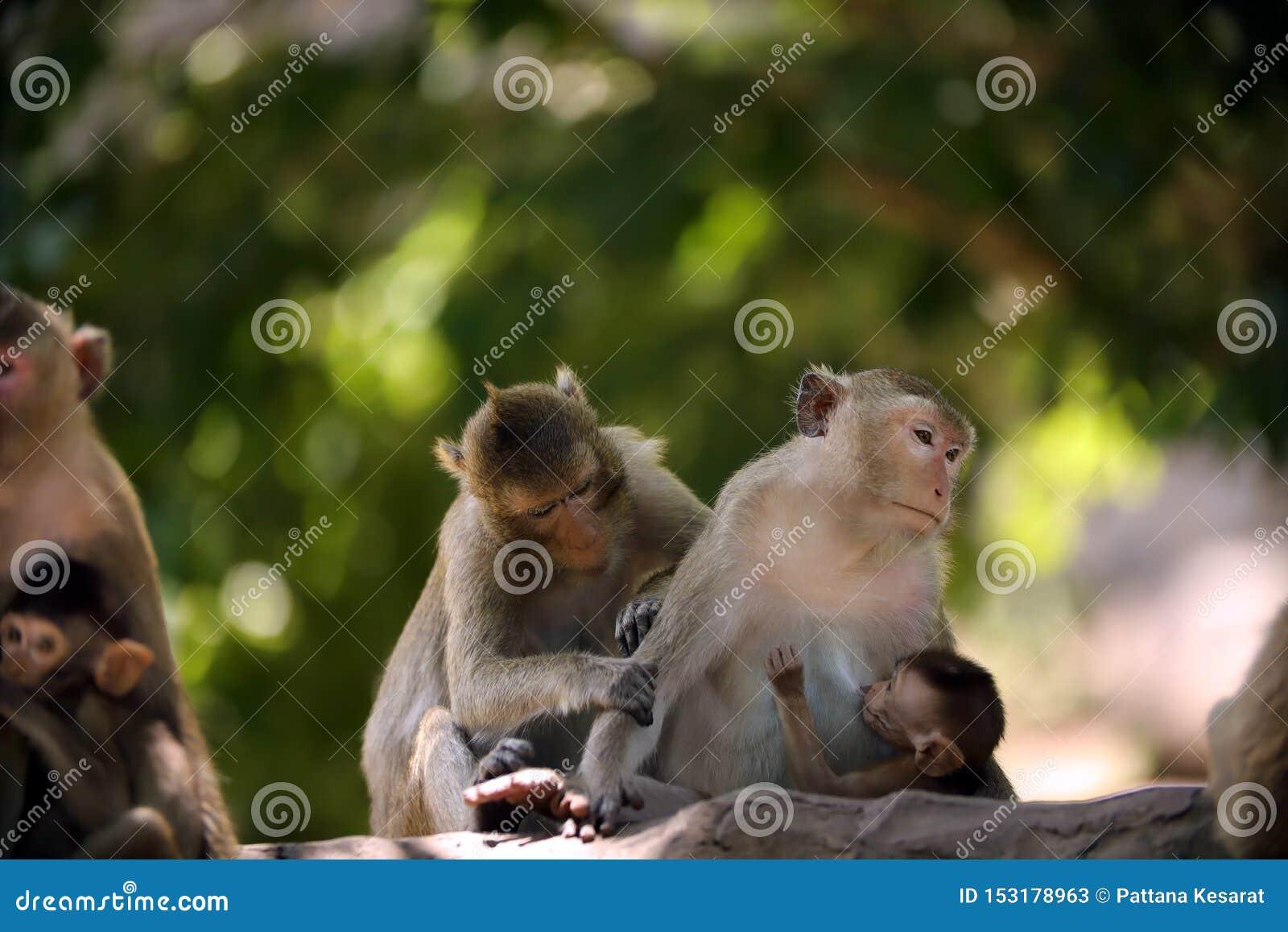 La mère de singe allaite