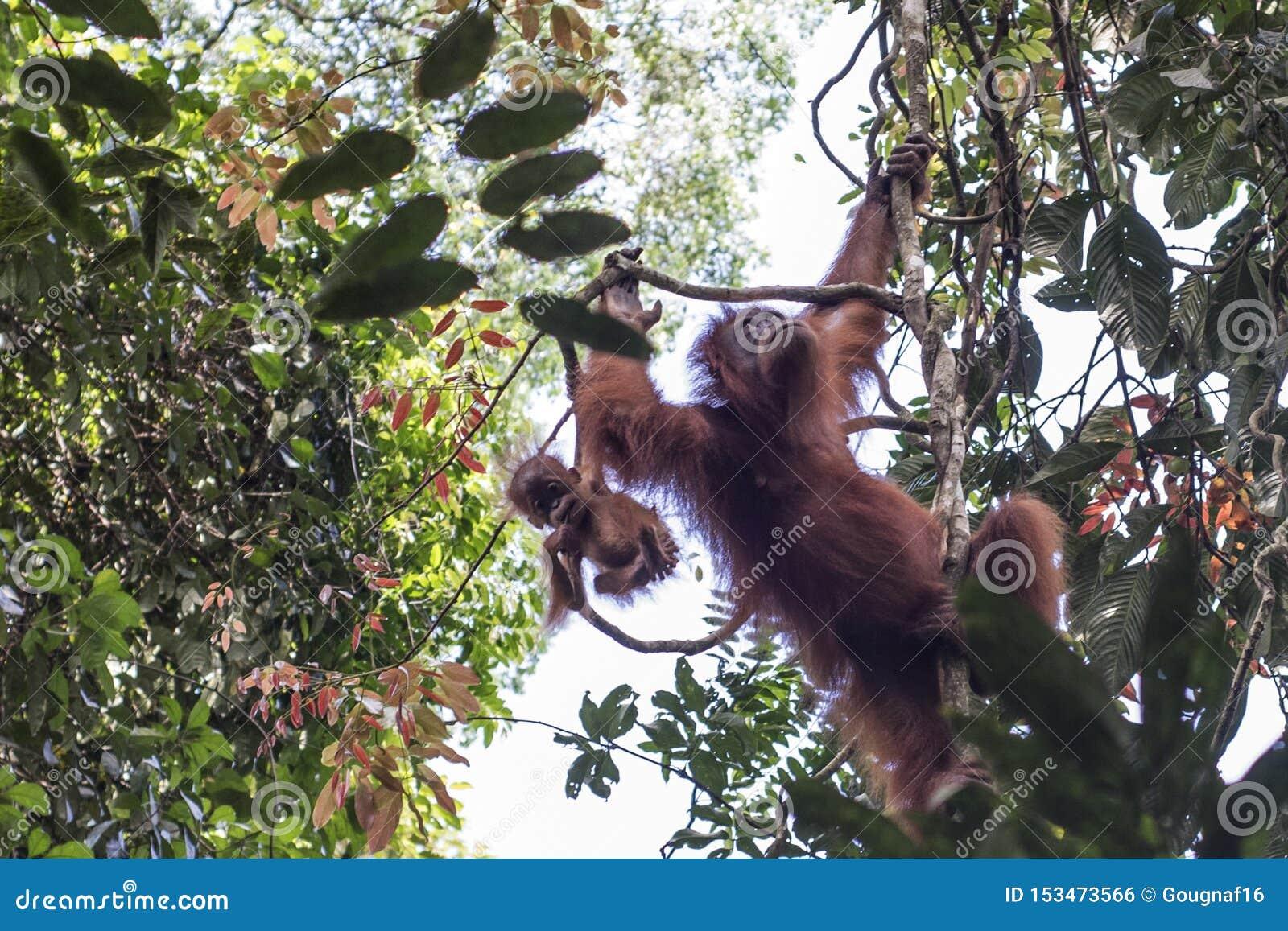 La mère sauvage d orang-outan et son bébé sont vus dans les arbres de la terre dans la jungle