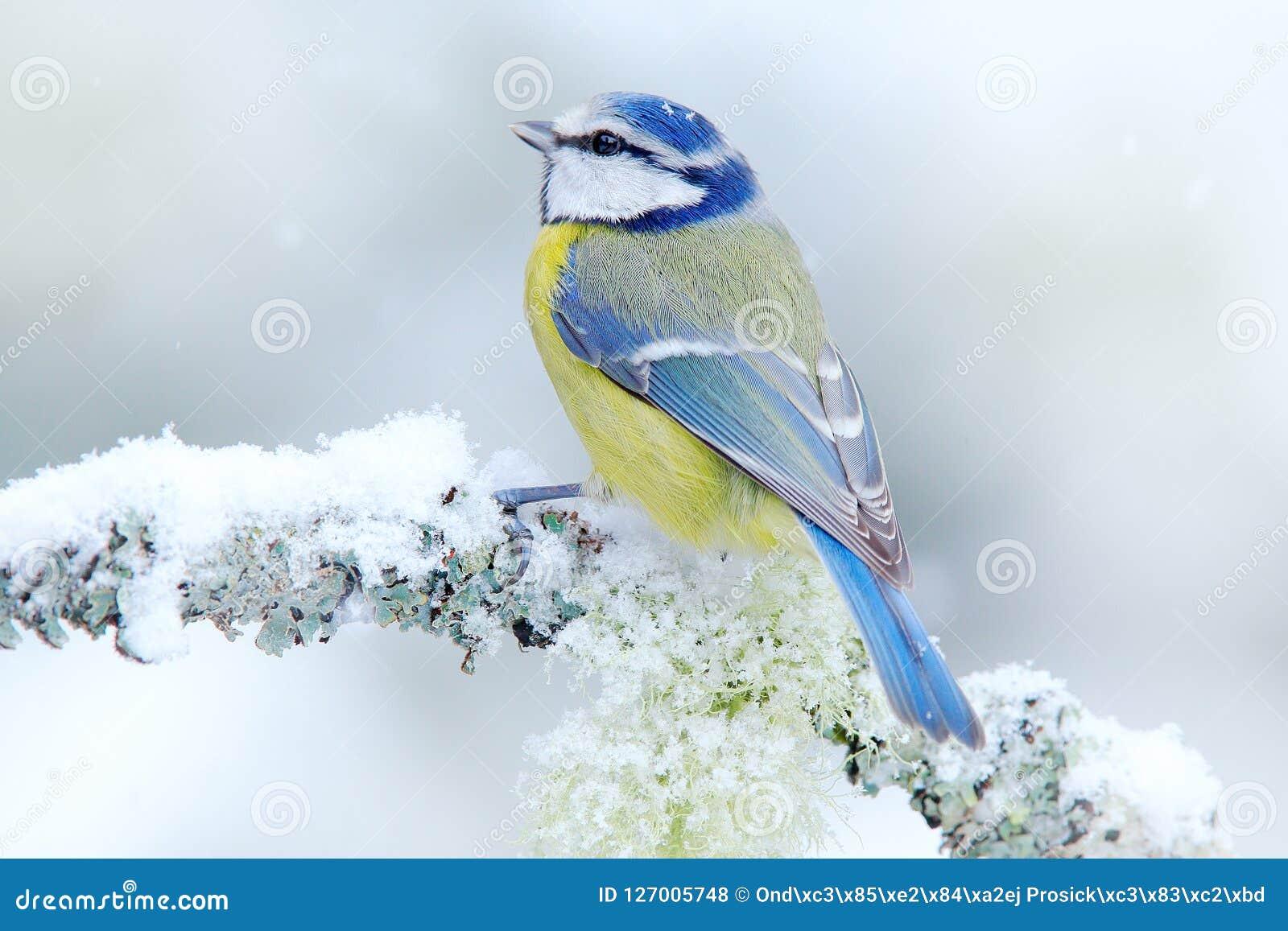 La mésange bleue d oiseau dans la forêt, les flocons de neige et le lichen gentil s embranchent Scène de faune de nature Portrait