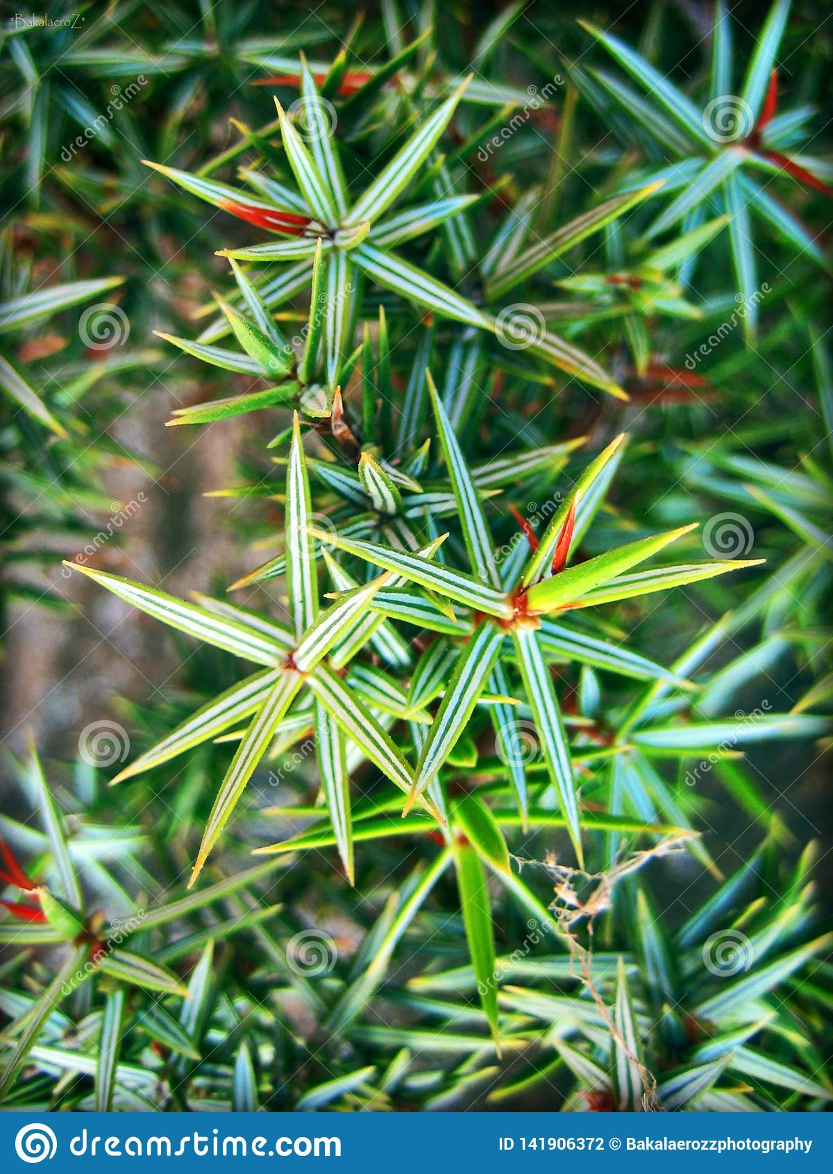 La macro del juniperus copre di foglie fondo e carte da parati nelle stampe superiori di alta qualità