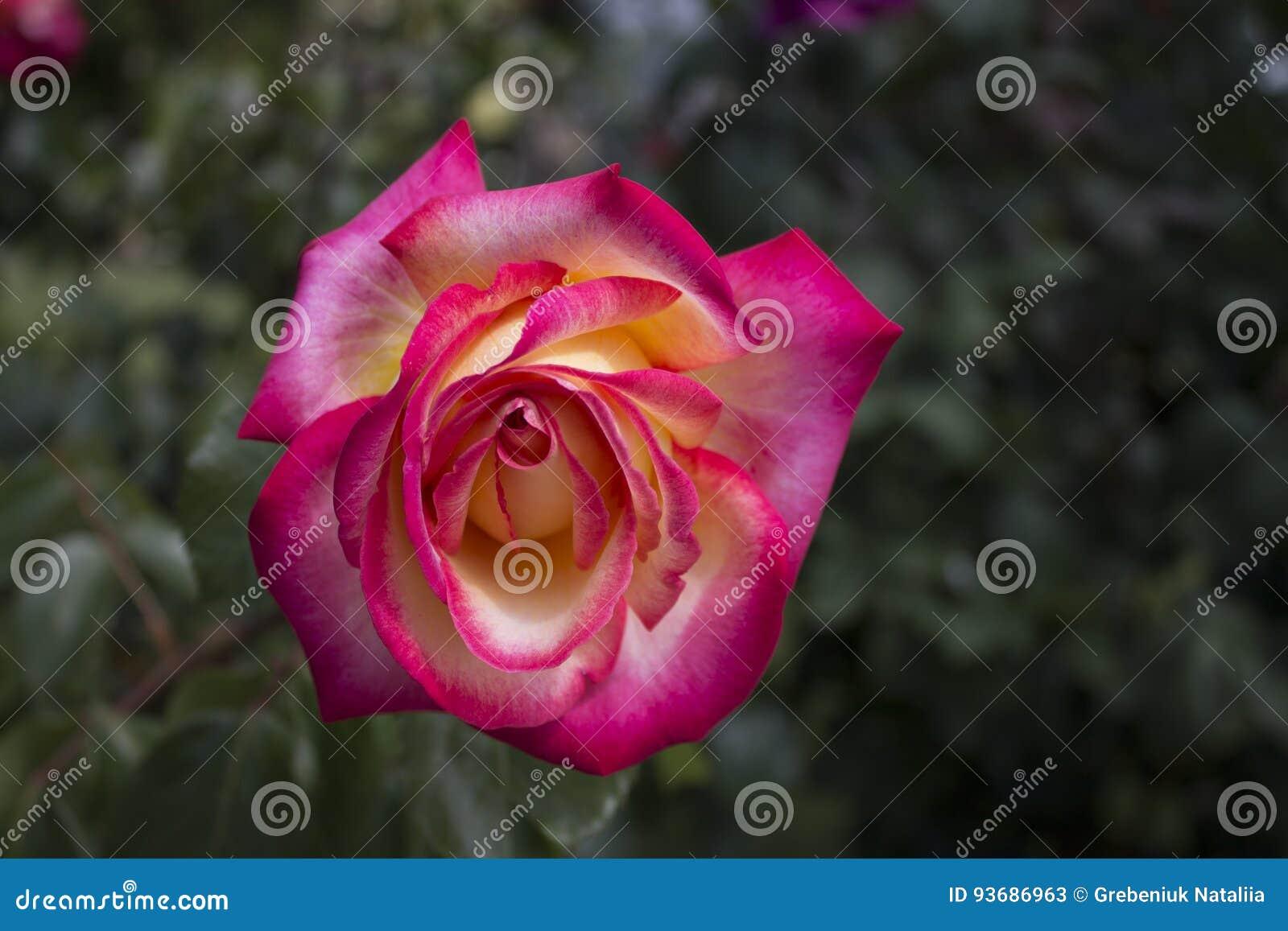 La macro subió en amarillo y color color de rosa