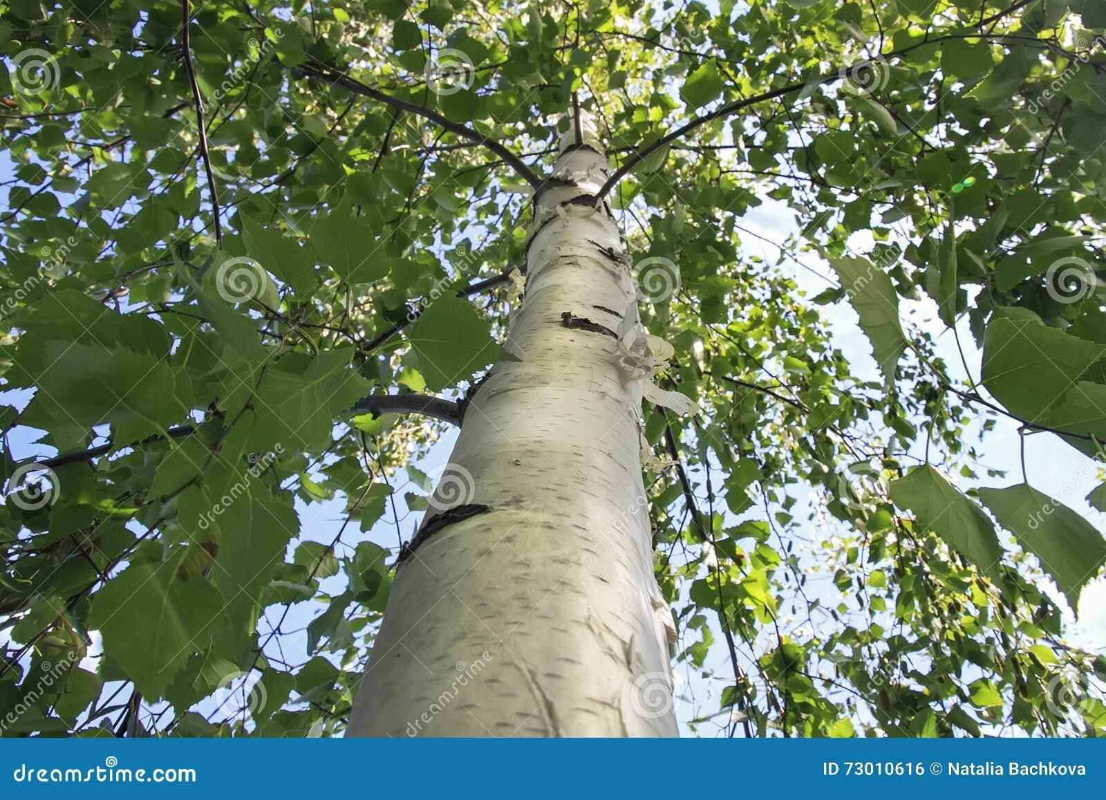 La madera del tronco del abedul blanco con las ramas verdes con las hojas foto de archivo - Abedul blanco ...