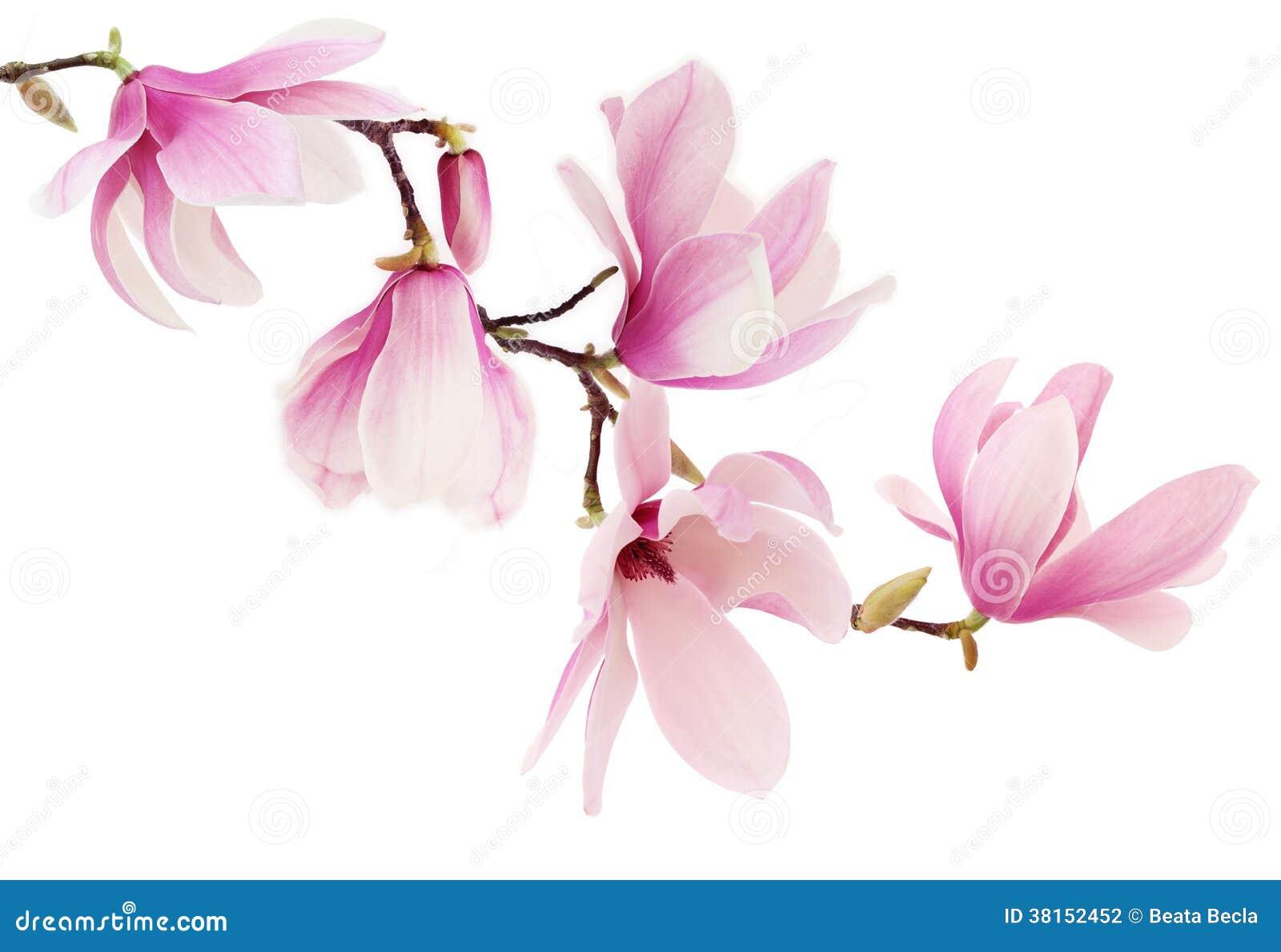 La magnolia rosada de la primavera florece la rama