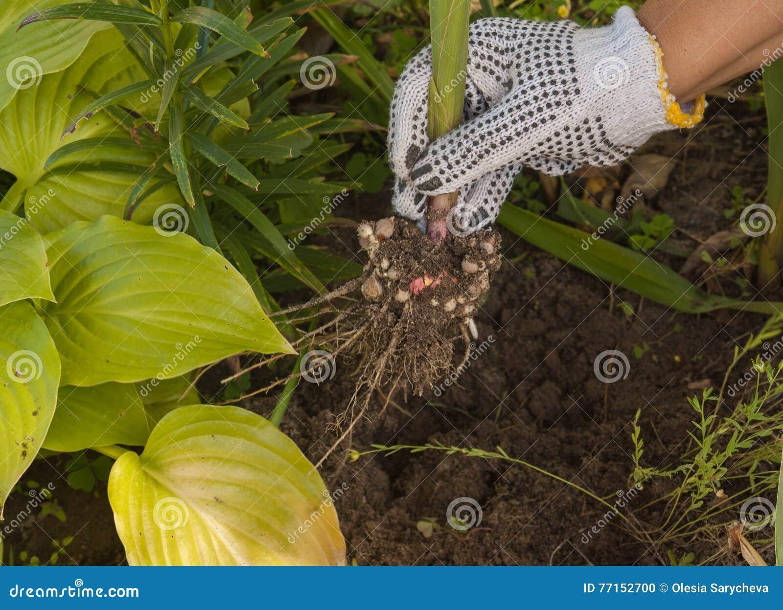La main femelle creuse le glaïeul