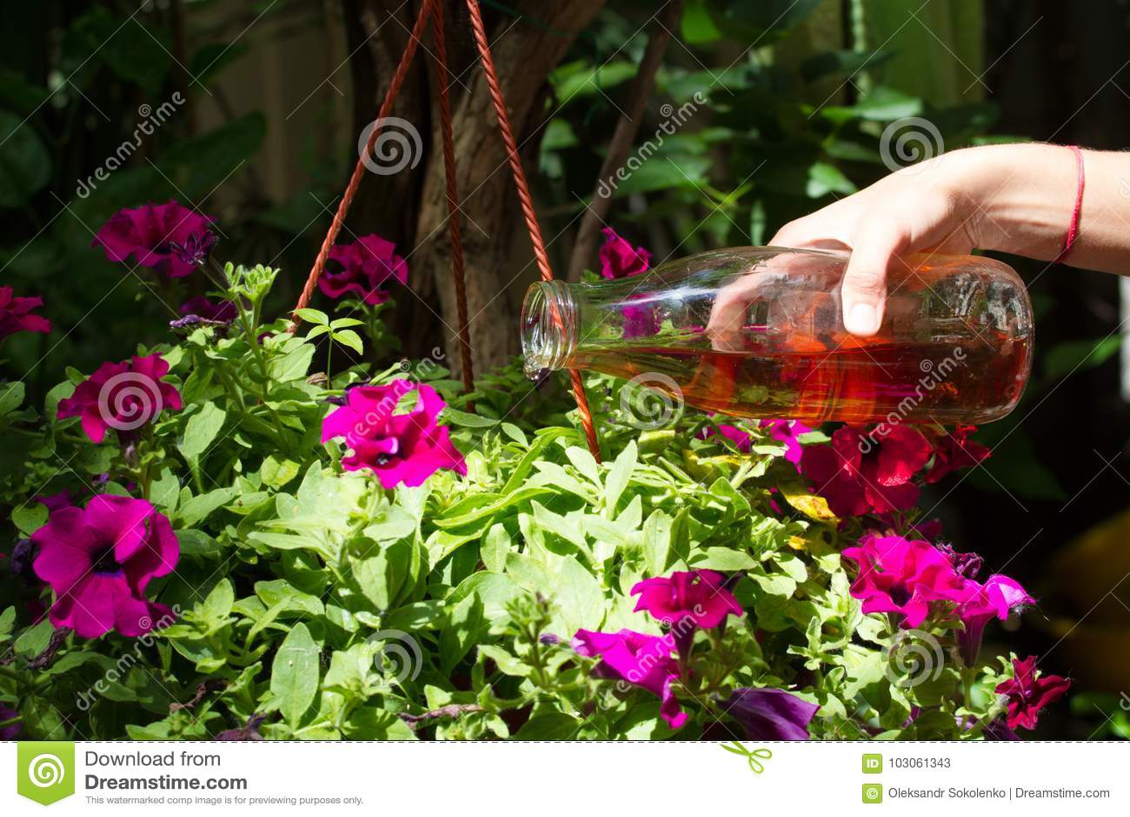 La main femelle verse des pétunias dans un pot avec de l engrais préparé à la maison Engrais liquide organique Nutrition d intéri