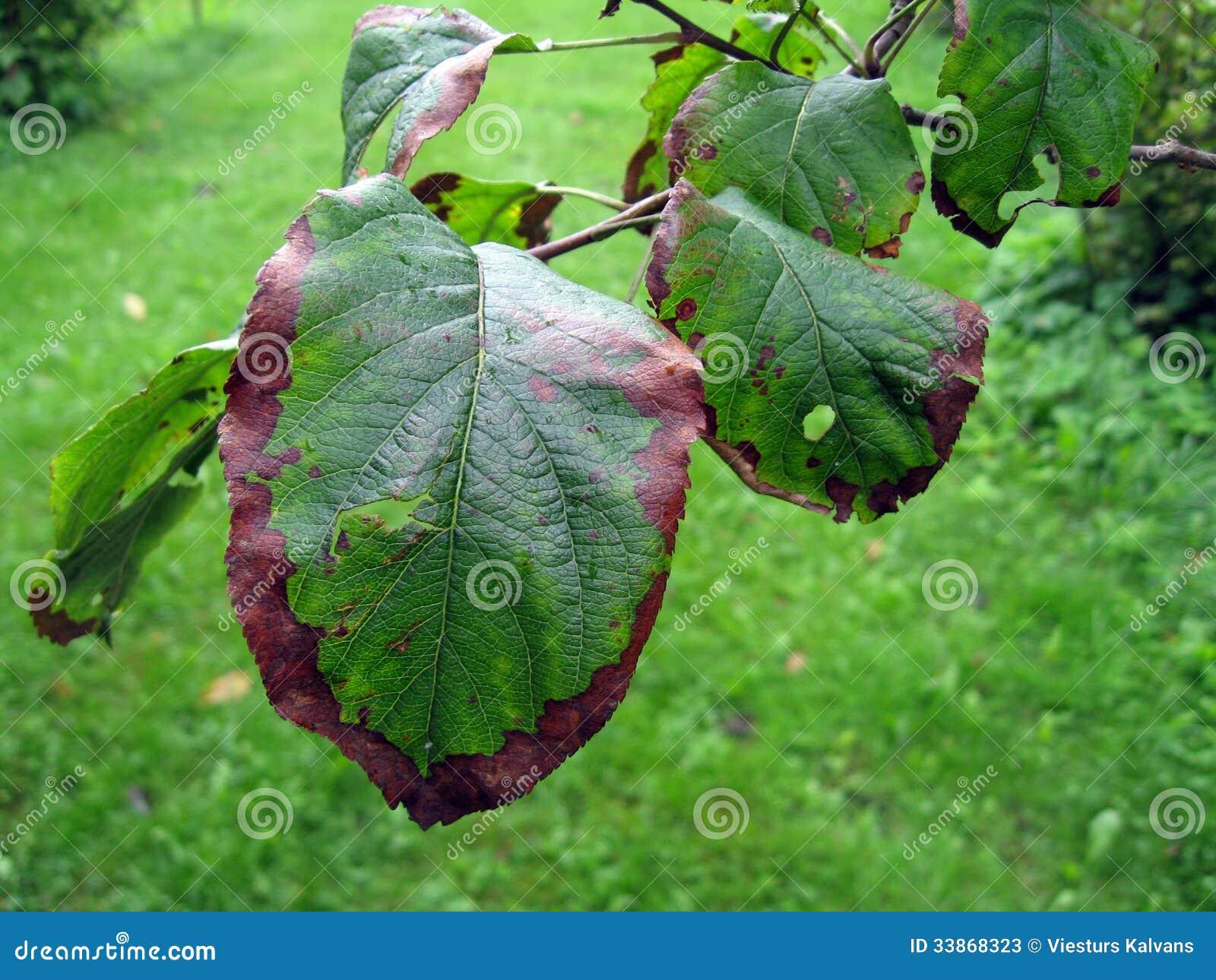 la maladie de pommier photos stock image 33868323
