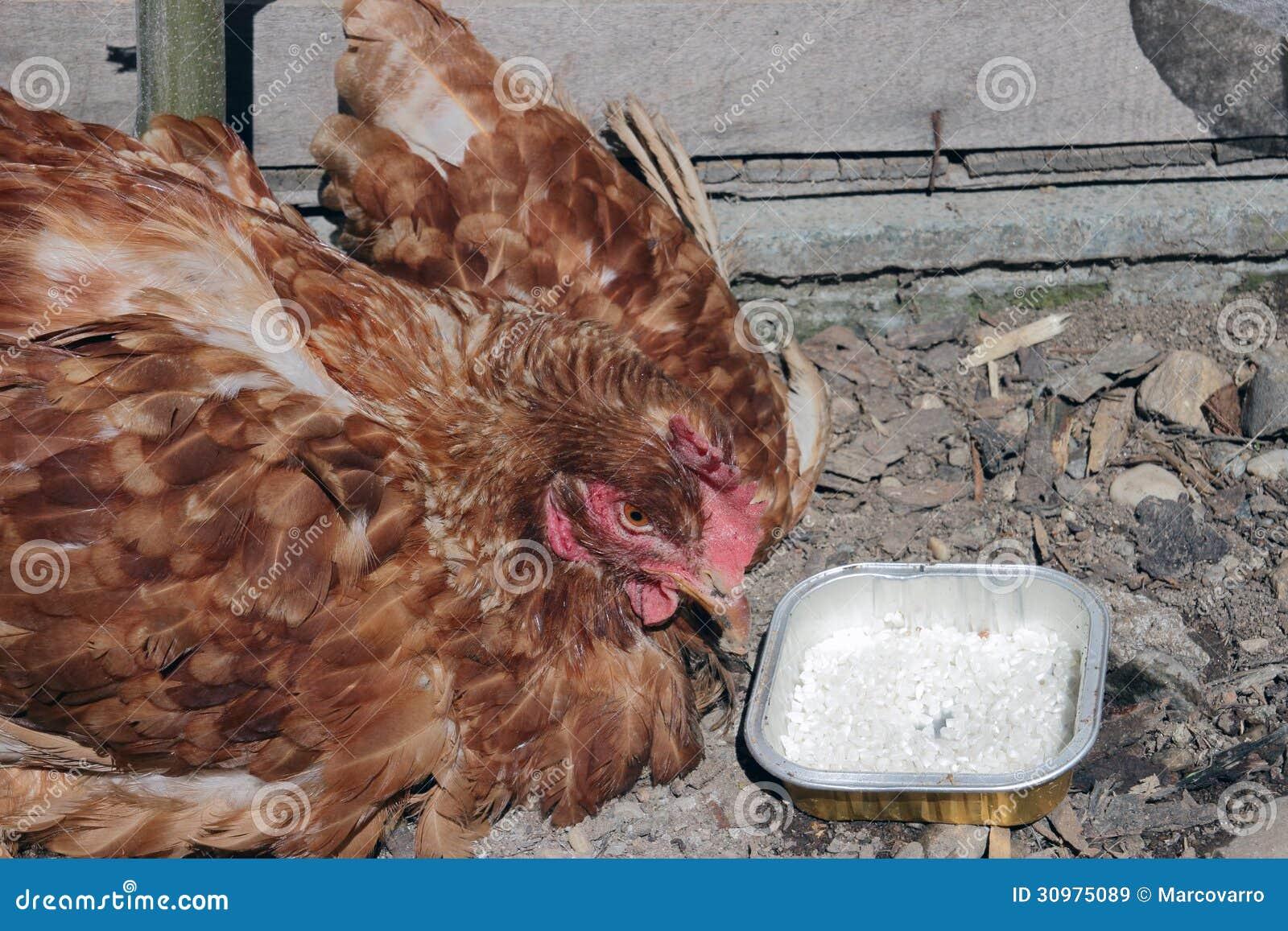 La maladie de volaille images libres de droits image for Les maladies des volailles