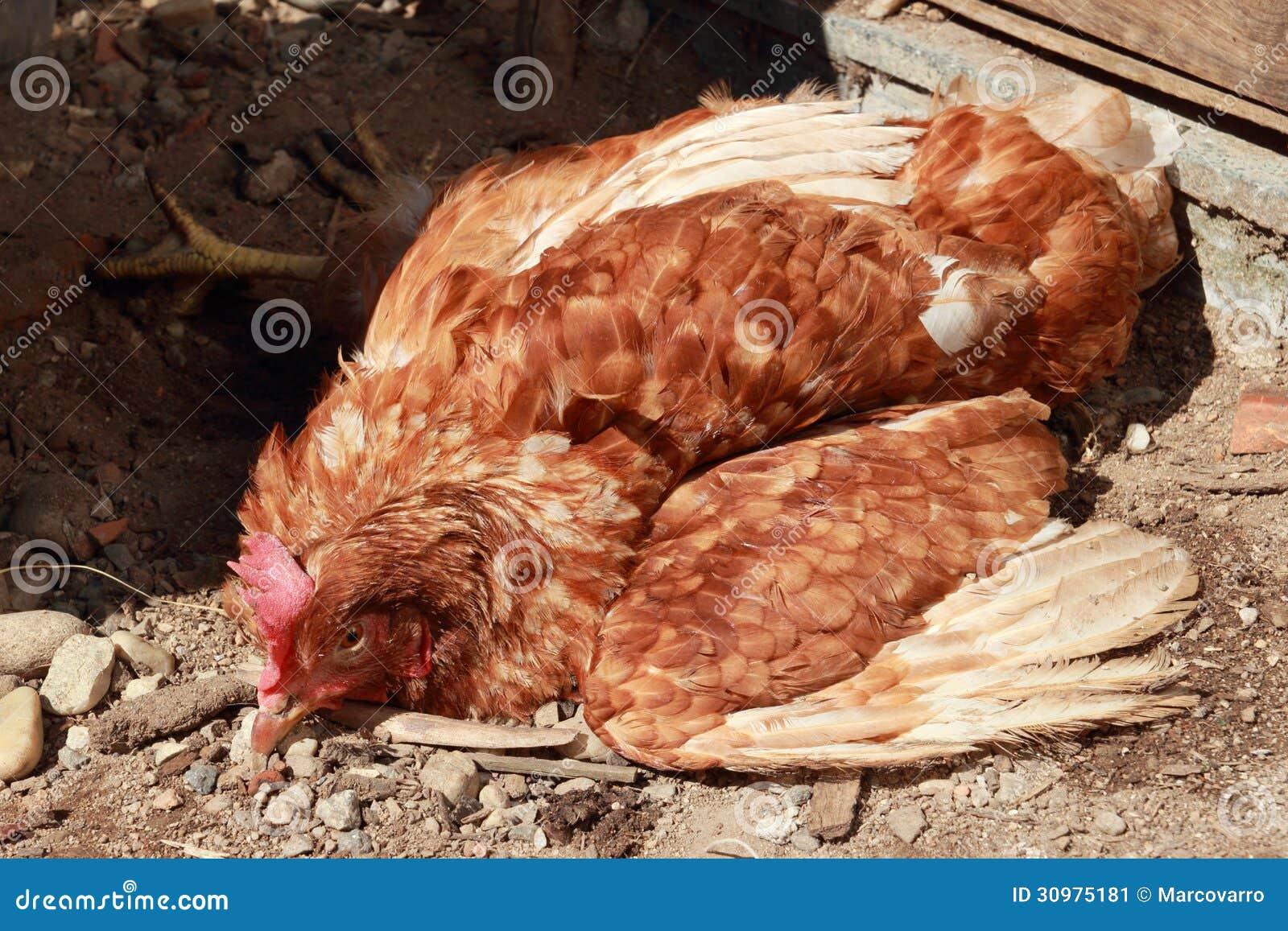 les maladies des poules - la poule wyandotte