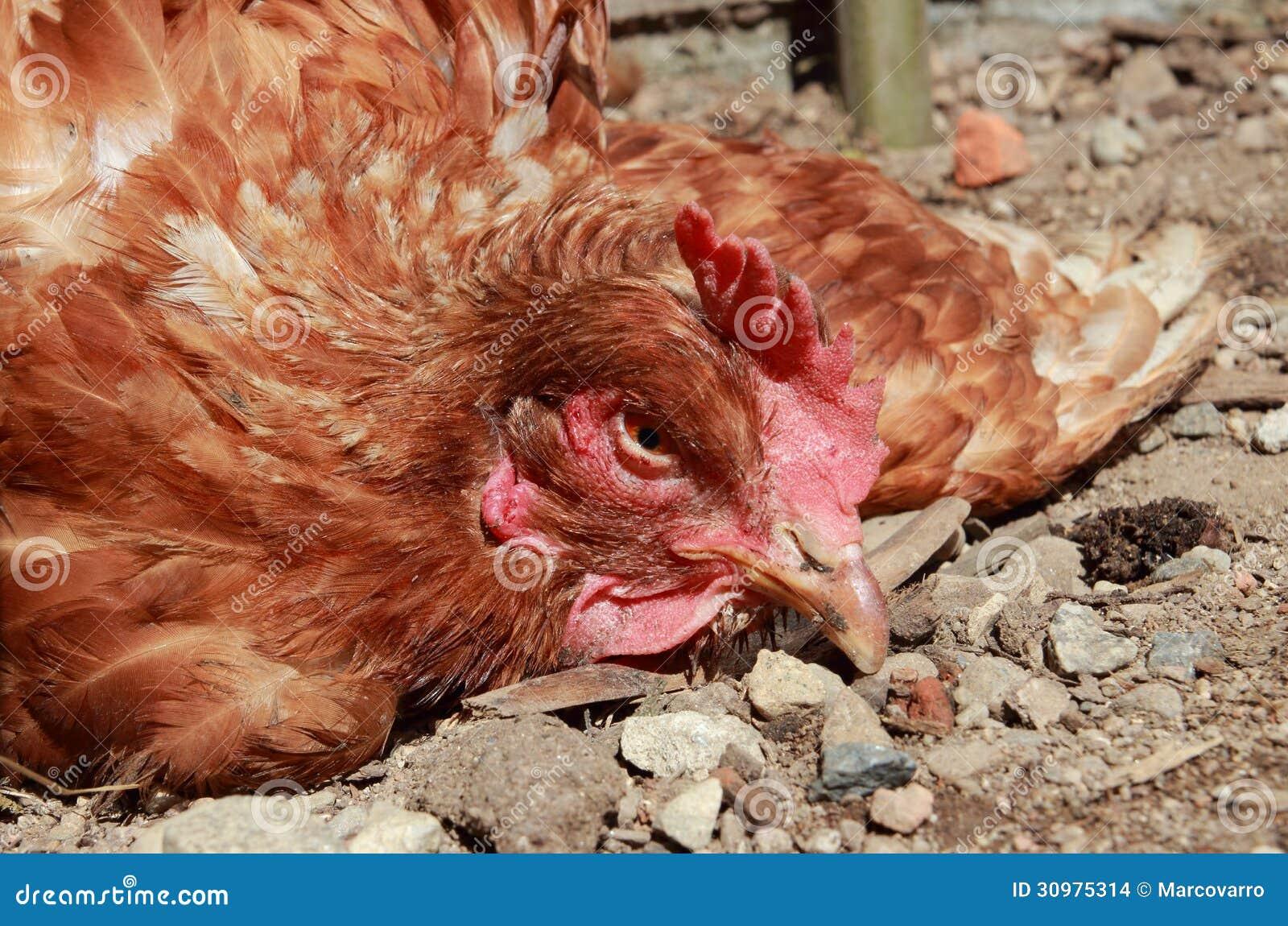La maladie de volaille images stock image 30975314 for Les maladies des volailles