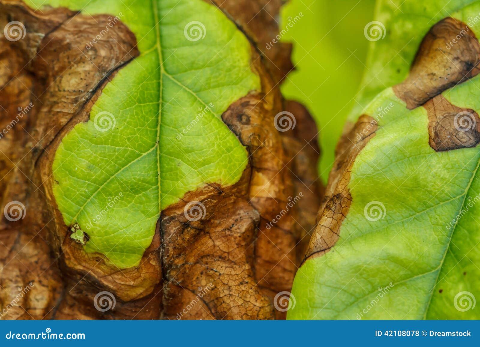 La maladie des arbres fruitiers photo stock image 42108078 - Maladie des arbres fruitiers ...