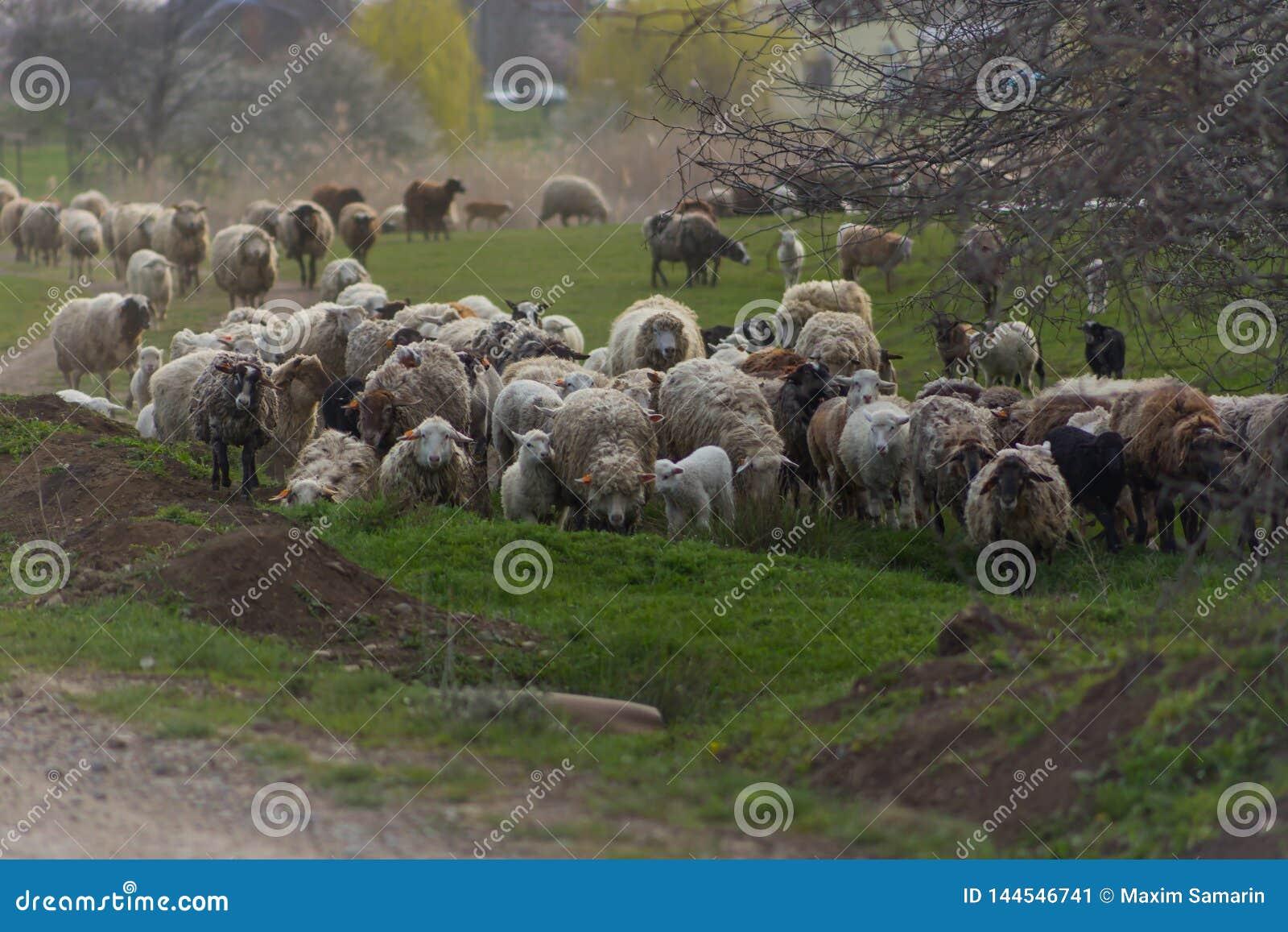 La manada de ovejas y los espolones van en la carretera nacional a pastar para comer la hierba en prado