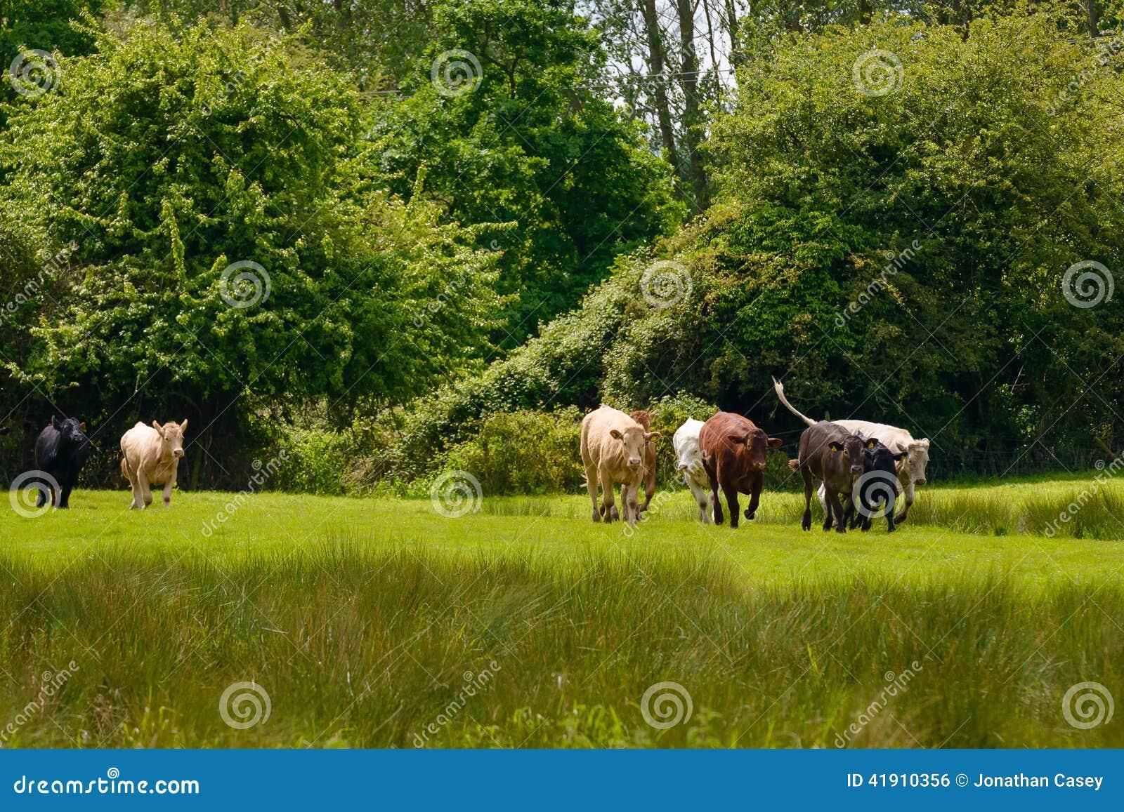 La manada del ganado lanzó en campo