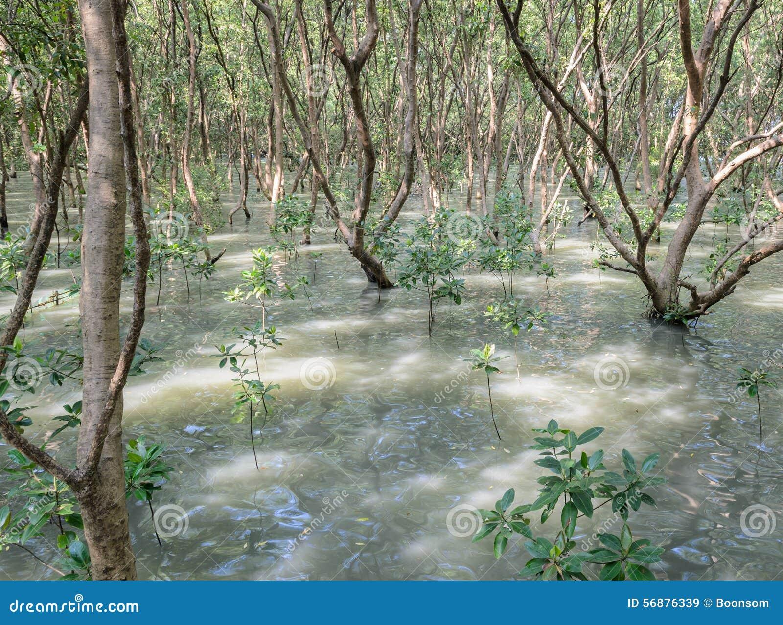 La mangrovia rimboschisce