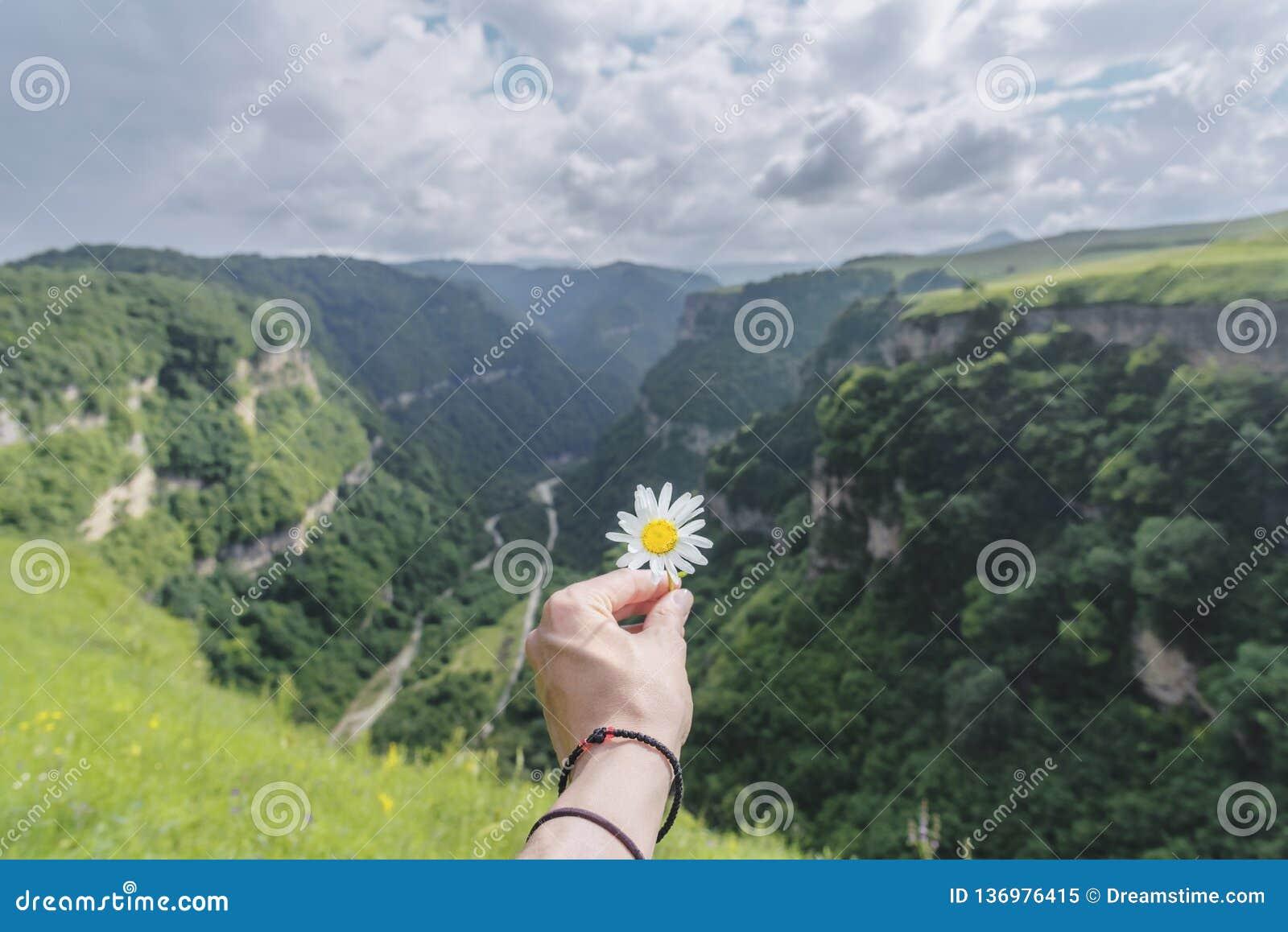 La mano de la mujer con la manzanilla en el fondo