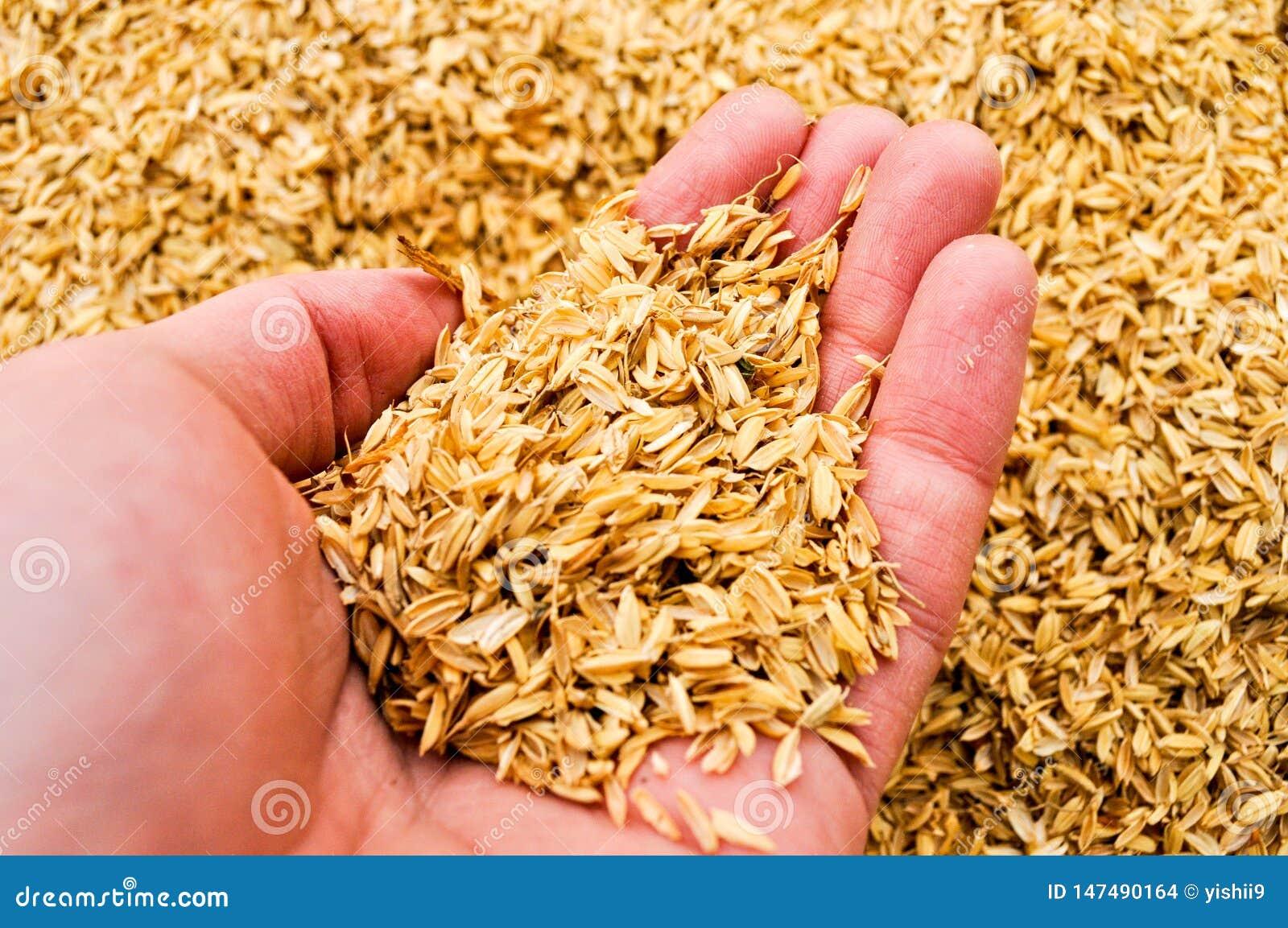 La mano de un hombre que sostiene un puñado de desperdicio del arroz