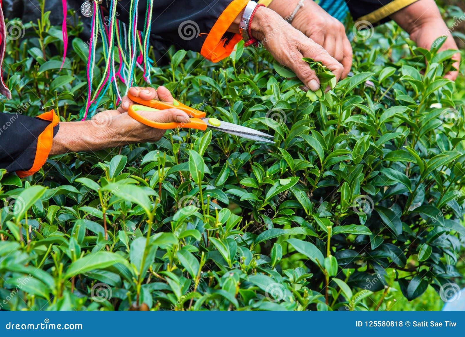 La mano del ` s della donna anziana sta raccogliendo le foglie di tè alla piantagione di tè; Provincia di Chiangmai; La Tailandia