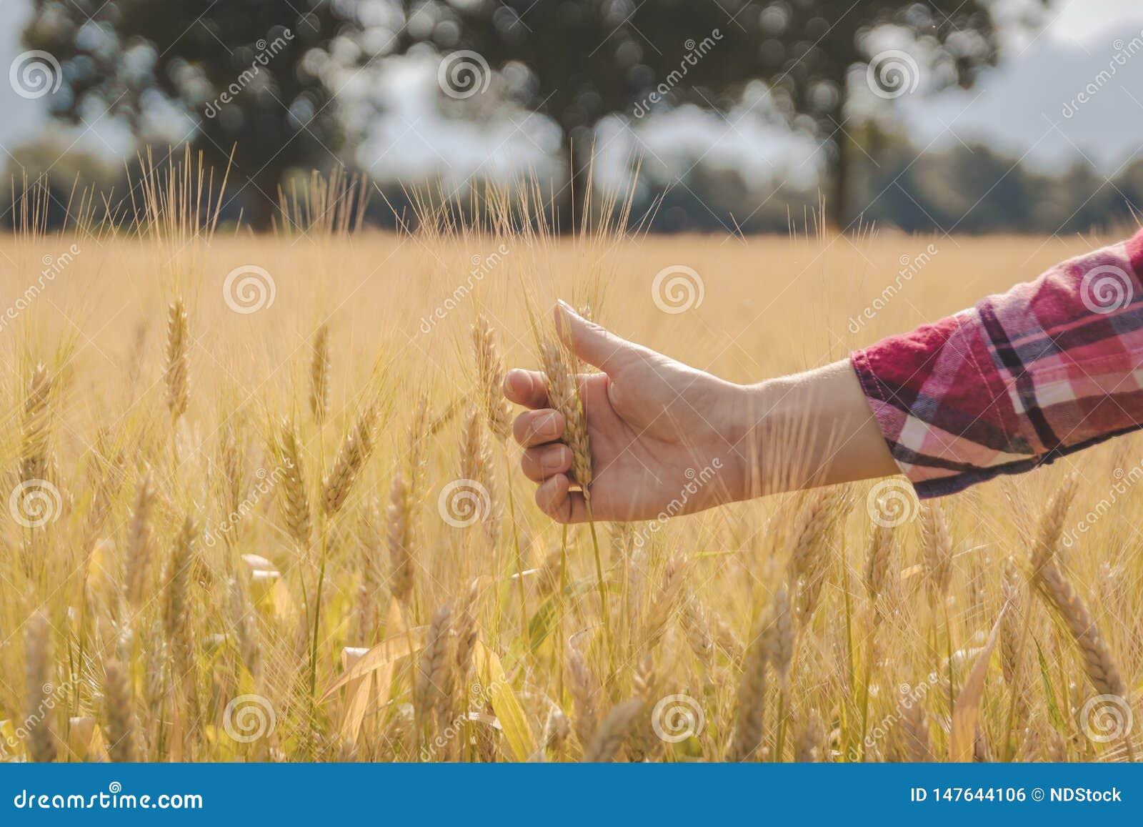 La mano della donna che tocca grano