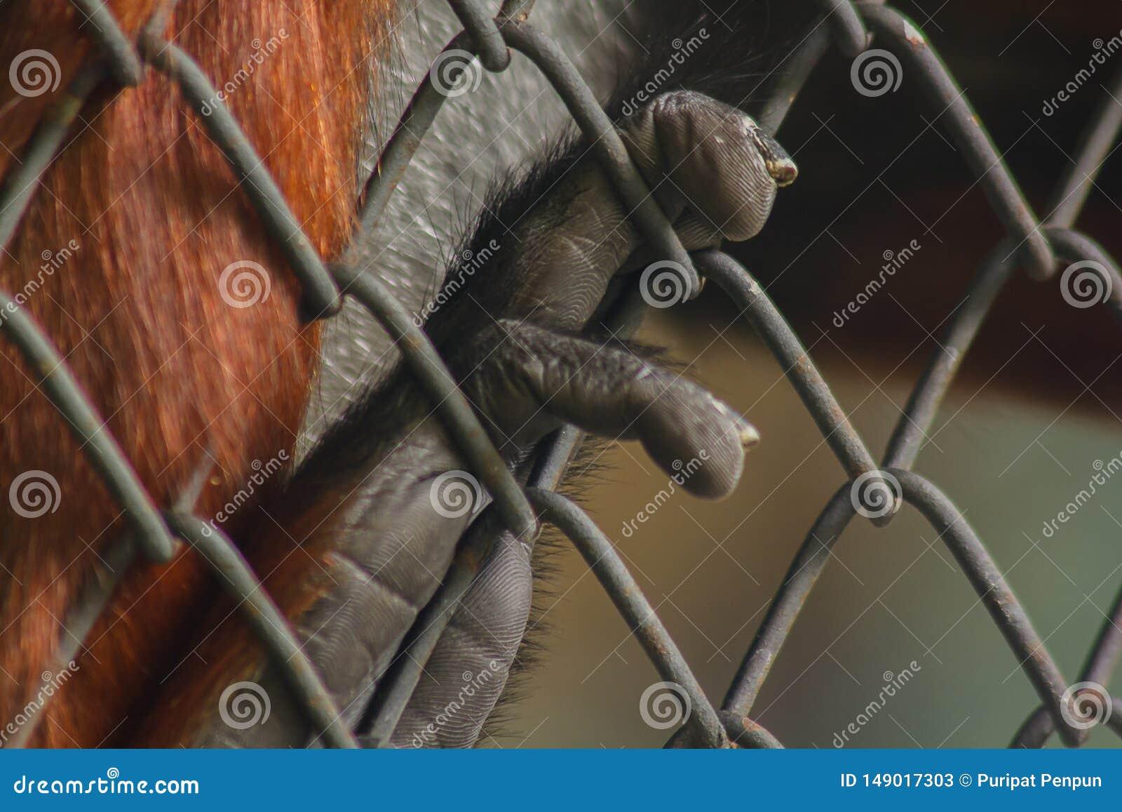 La mano della scimmia che tiene la gabbia