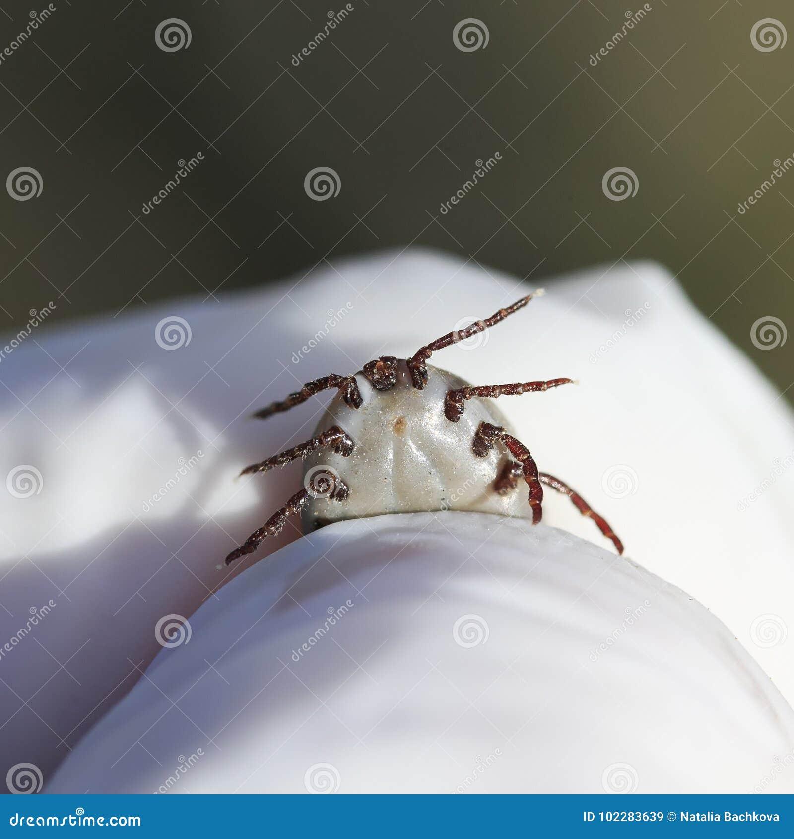 La mano en guantes sostiene el ácaro contagioso dañino del insecto quitado de