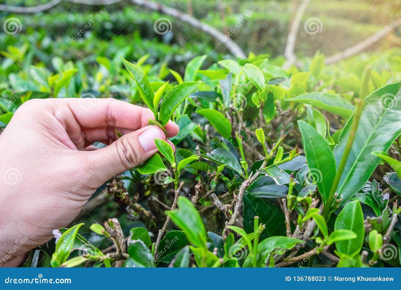 La mano escogió las hojas de té verdes
