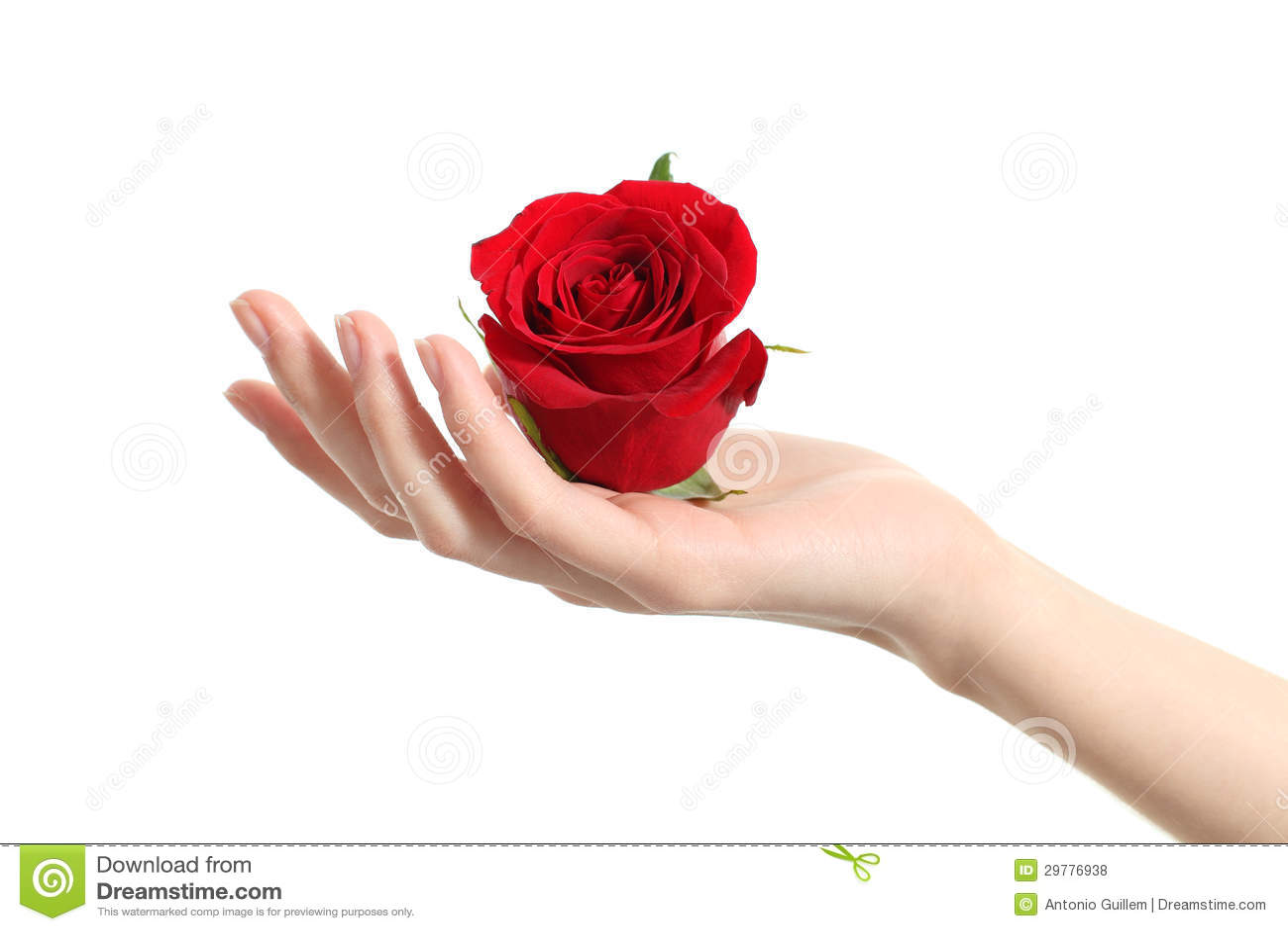 Mano Hermosa De La Mujer Que Sostiene Una Rosa Roja Foto de ...