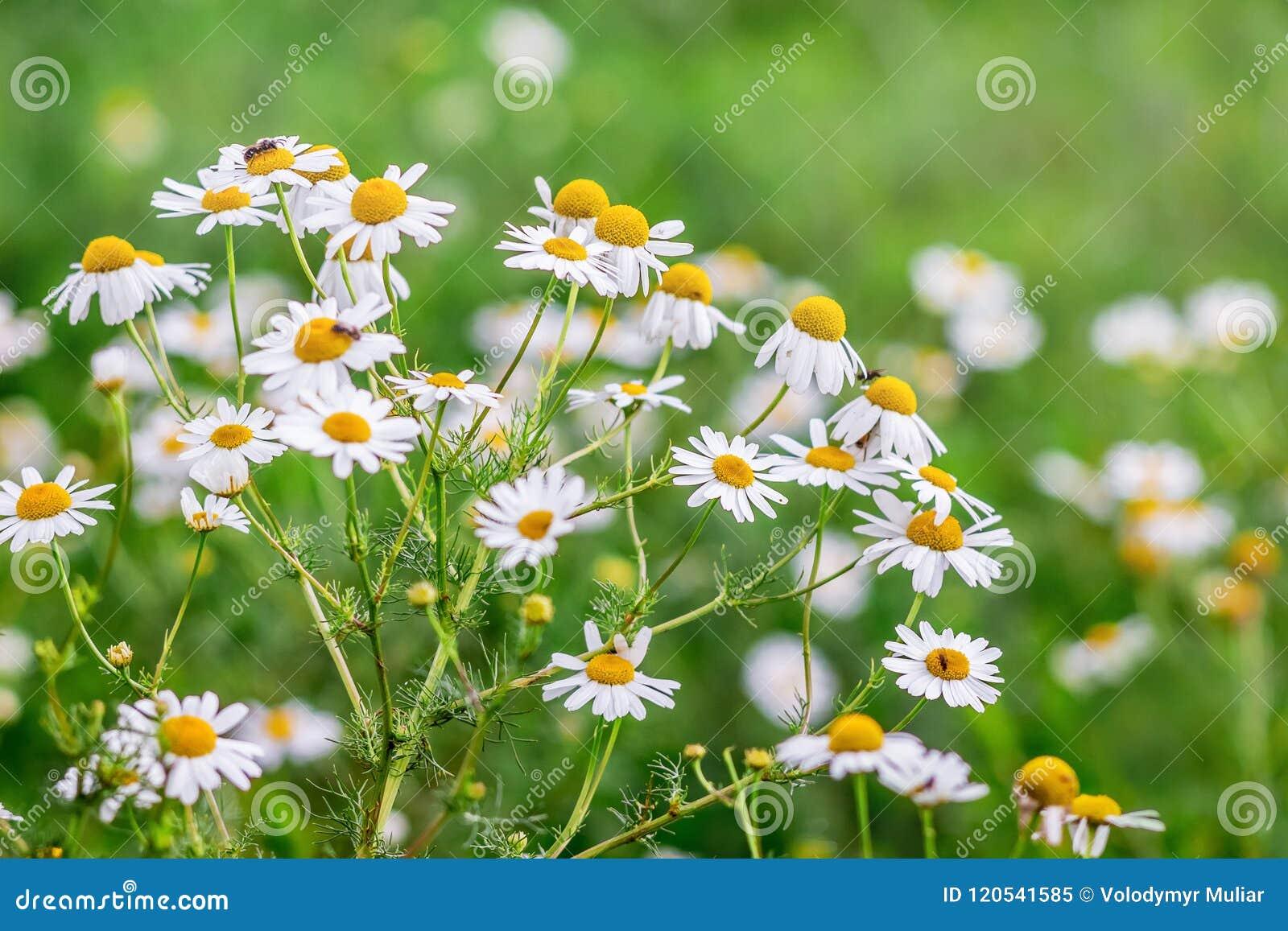 La manzanilla blanca floreció en un prado en un day_ soleado del verano