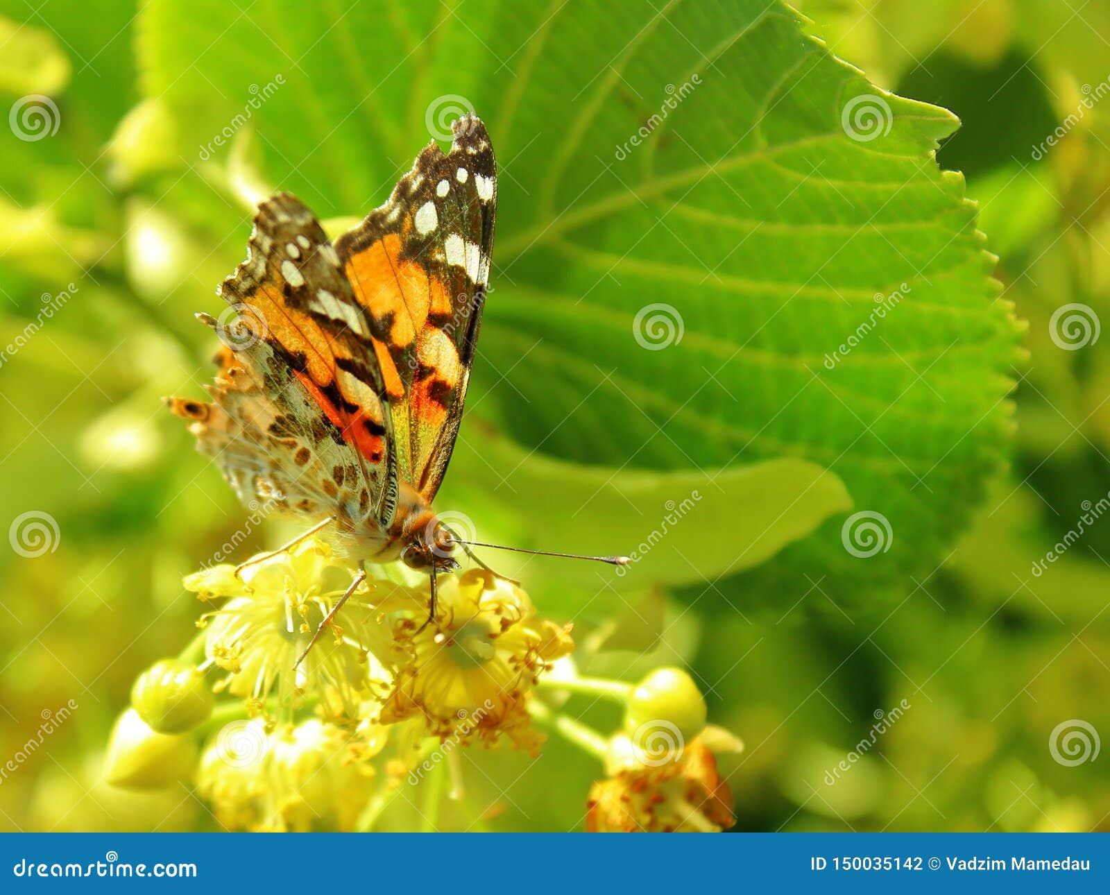 La mariposa alimenta en el polen del tilo