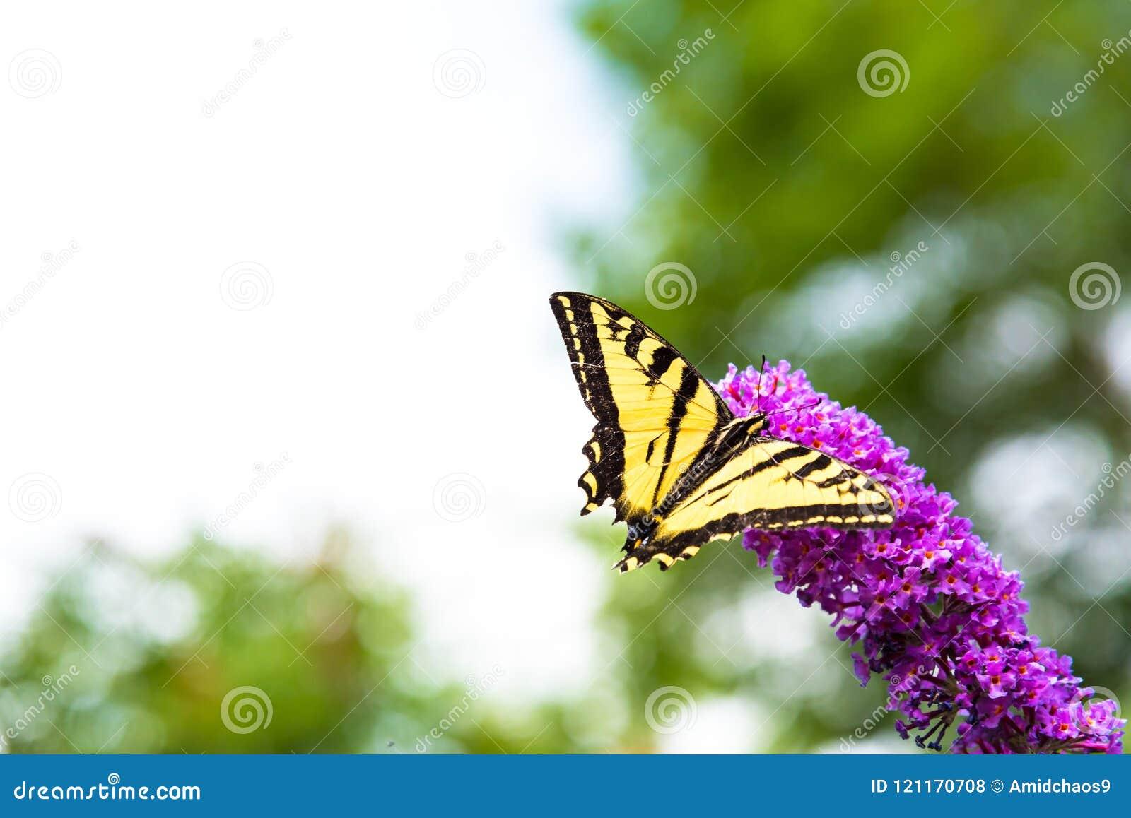 La mariposa amarilla y negra del swallowtail que alimenta en arbusto de mariposa rosado florece