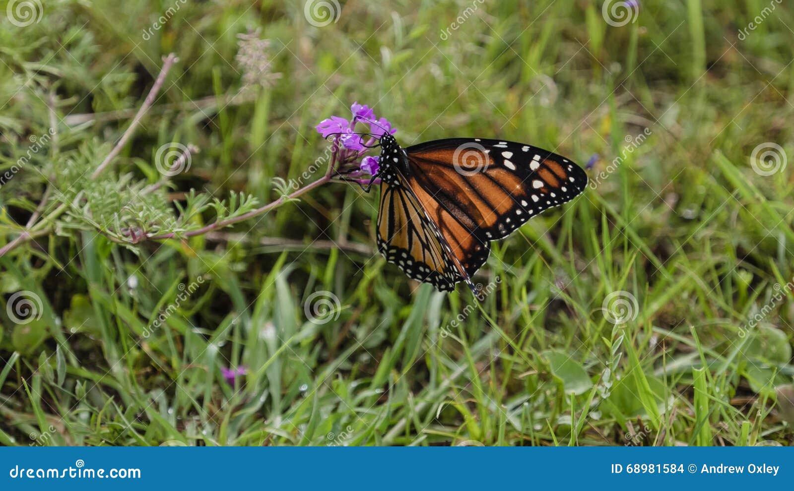 La mariposa de monarca (plexippus del Danaus)