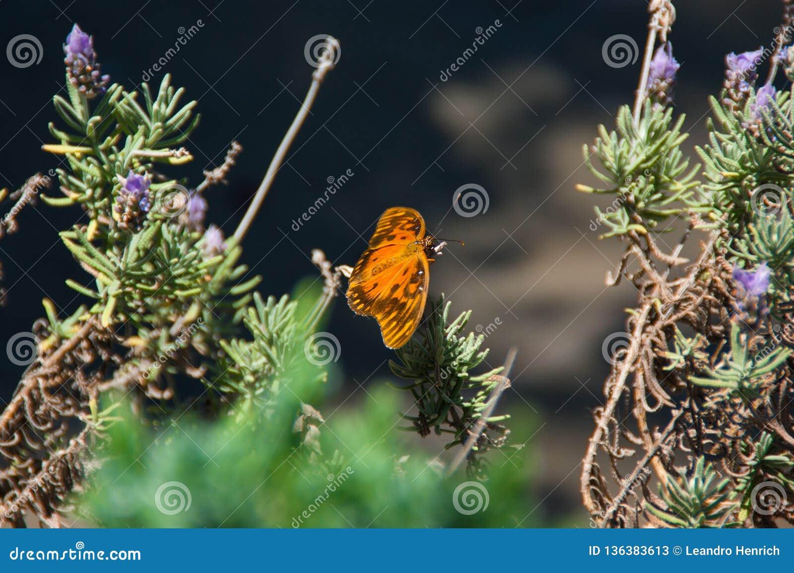 La mariposa sobre la lavanda
