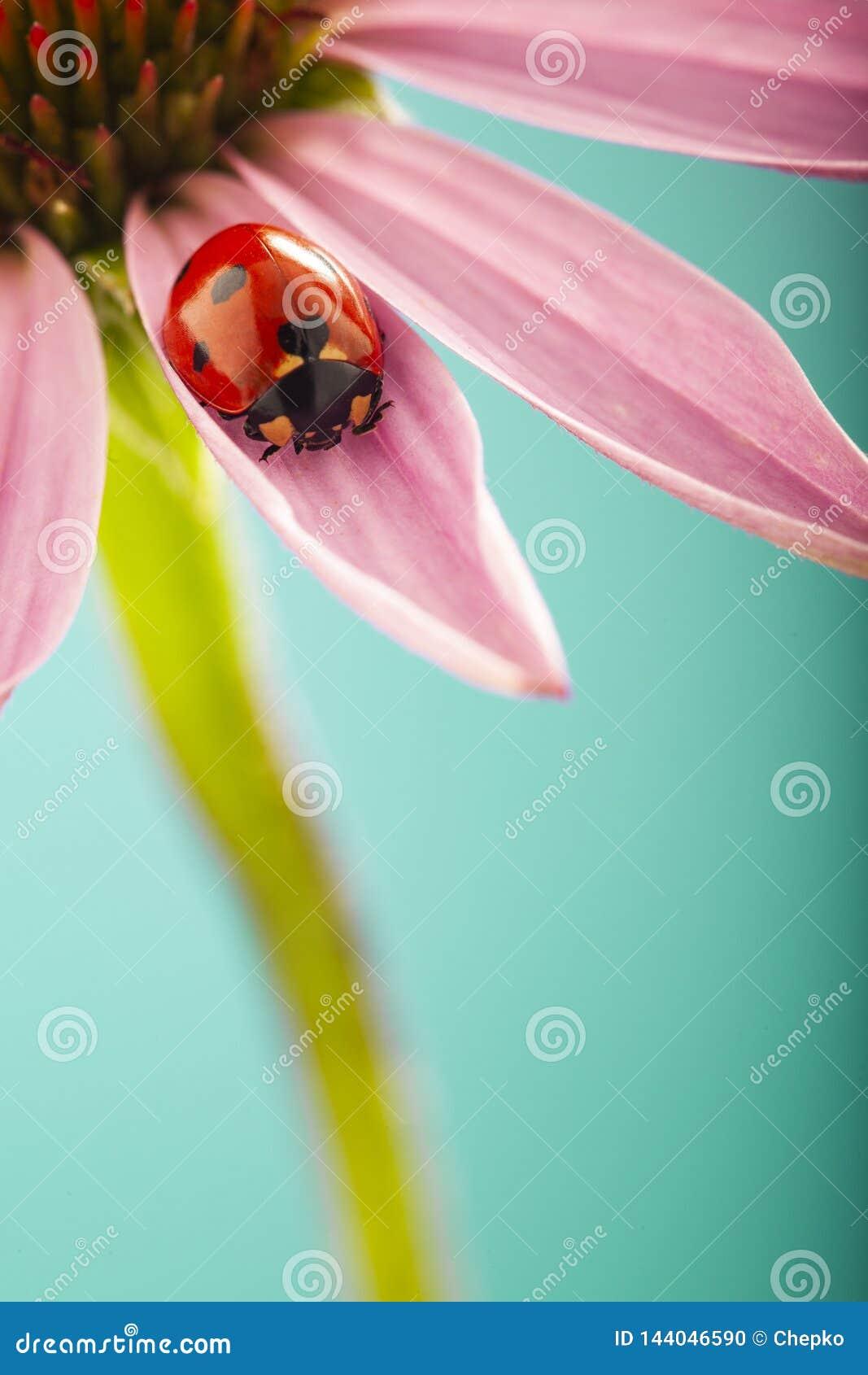 La mariquita roja en la flor rosada, mariquita se arrastra en la hoja de la planta en primavera en jardín en verano