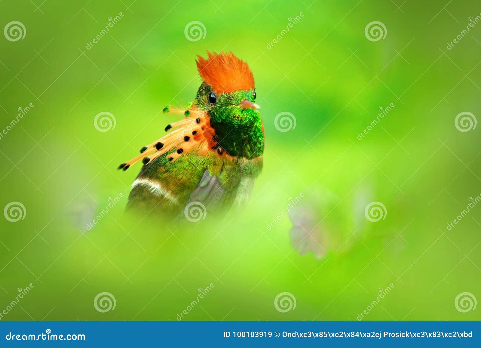 La mayoría del pájaro hermoso en el mundo Ornatus copetudo de la coqueta, de Lophornis, colibrí colorido con la cresta anaranjada