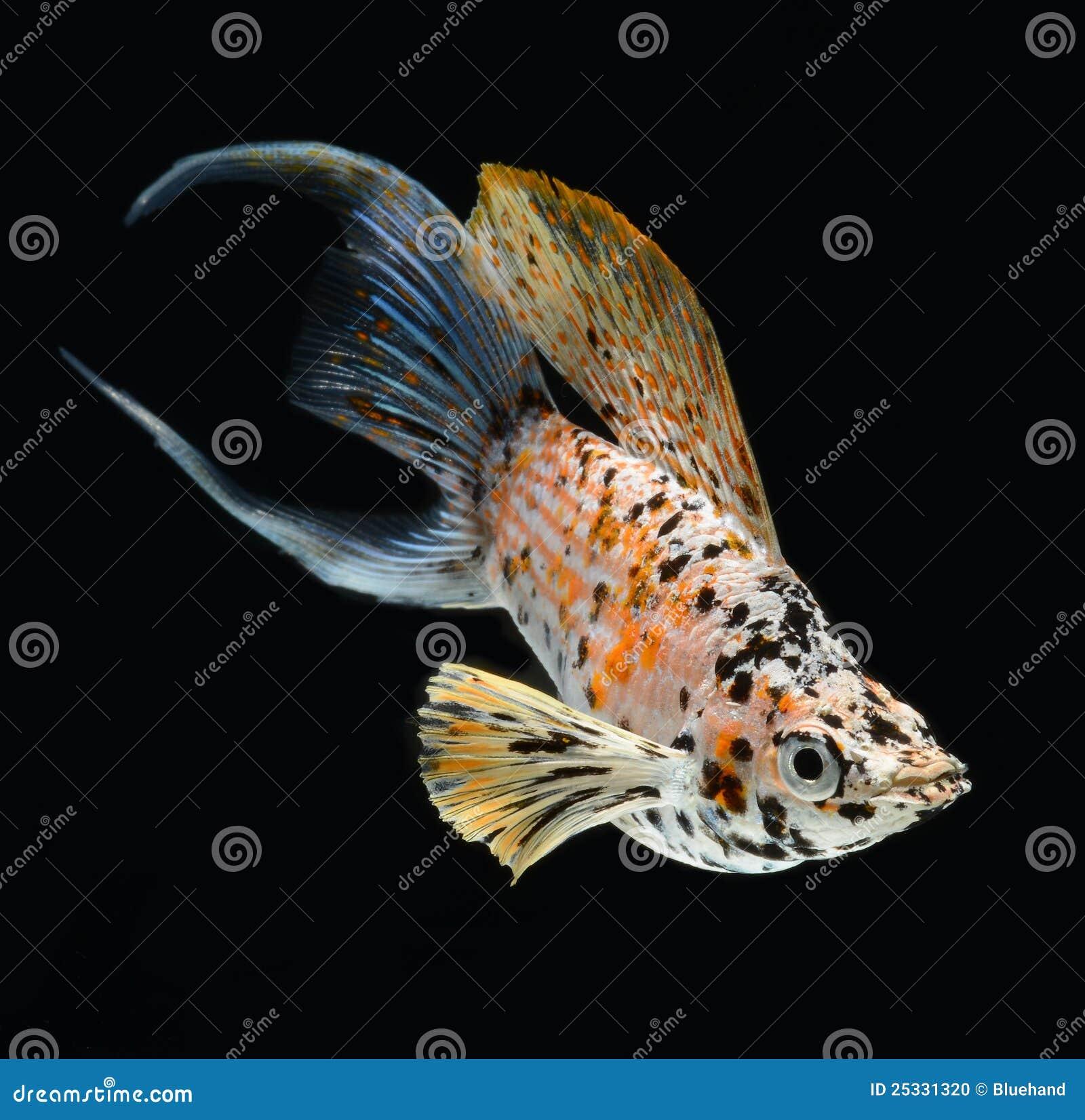 La mezzaluna dei pesci di molly ha munito isolato su backg for Pesci di stagno
