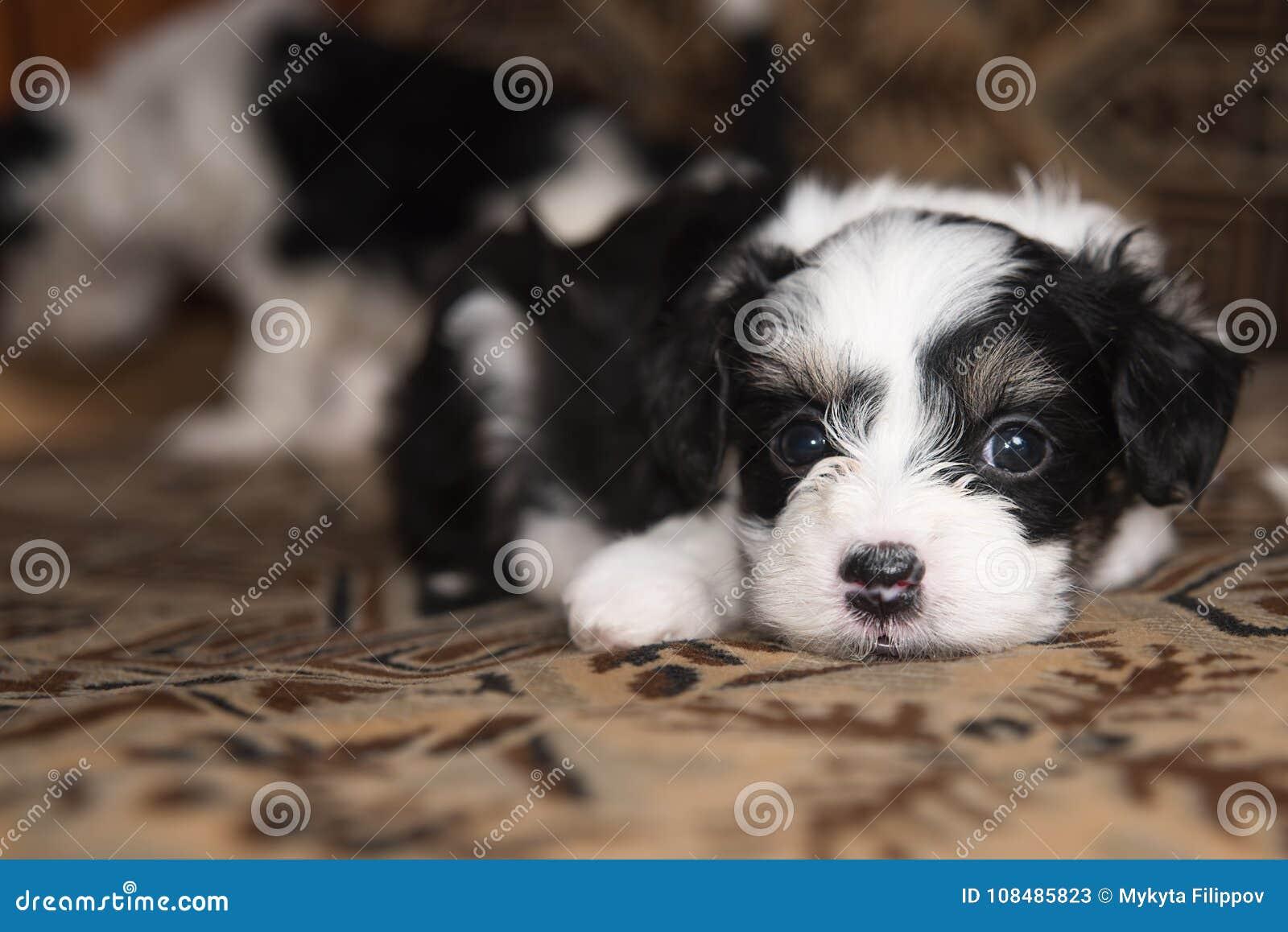 La miniatura del cucciolo si trova sul letto, piccolo cane divertente, guardante in camera