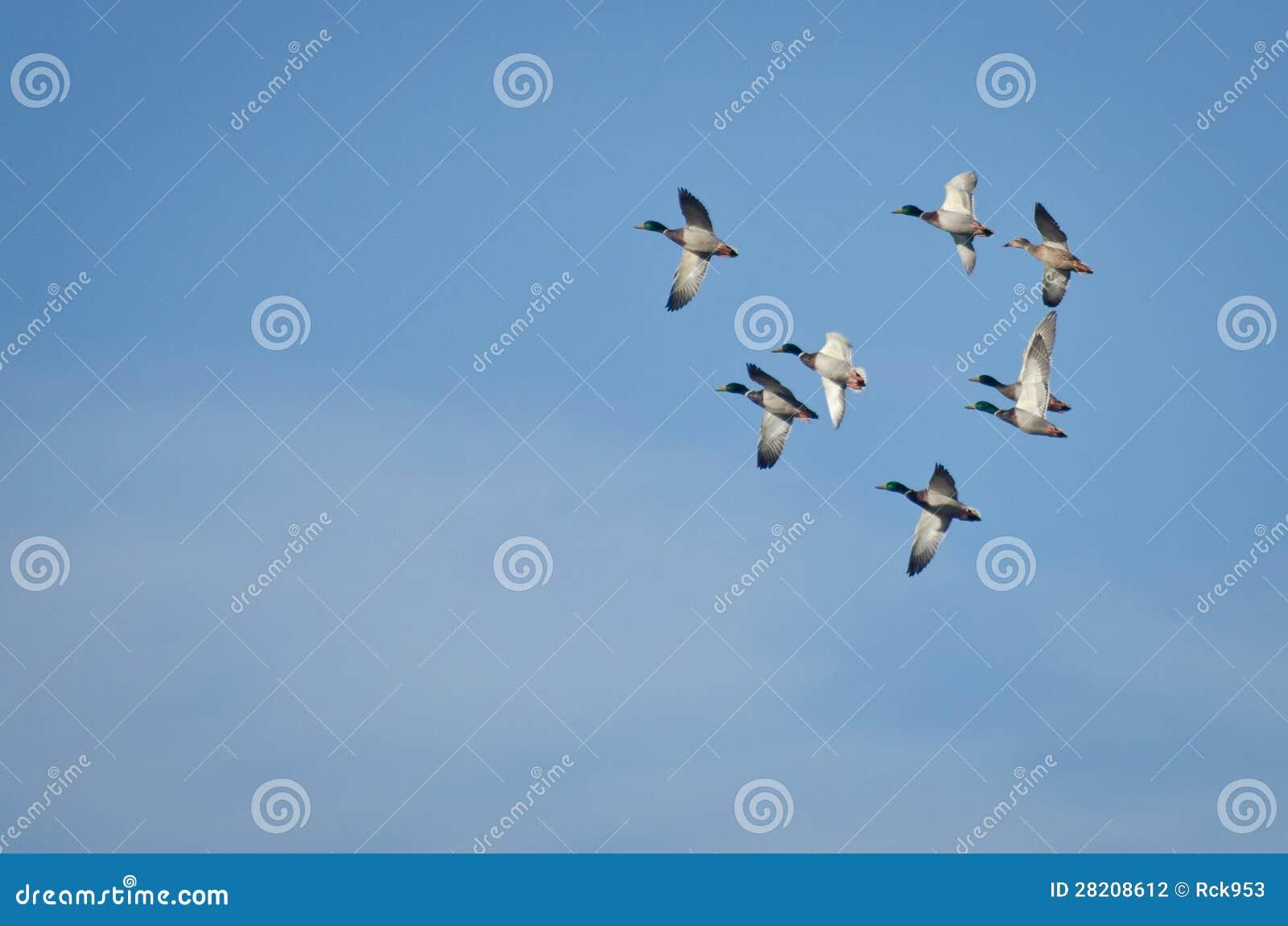 La moltitudine di germano reale Ducks il volo in cielo blu