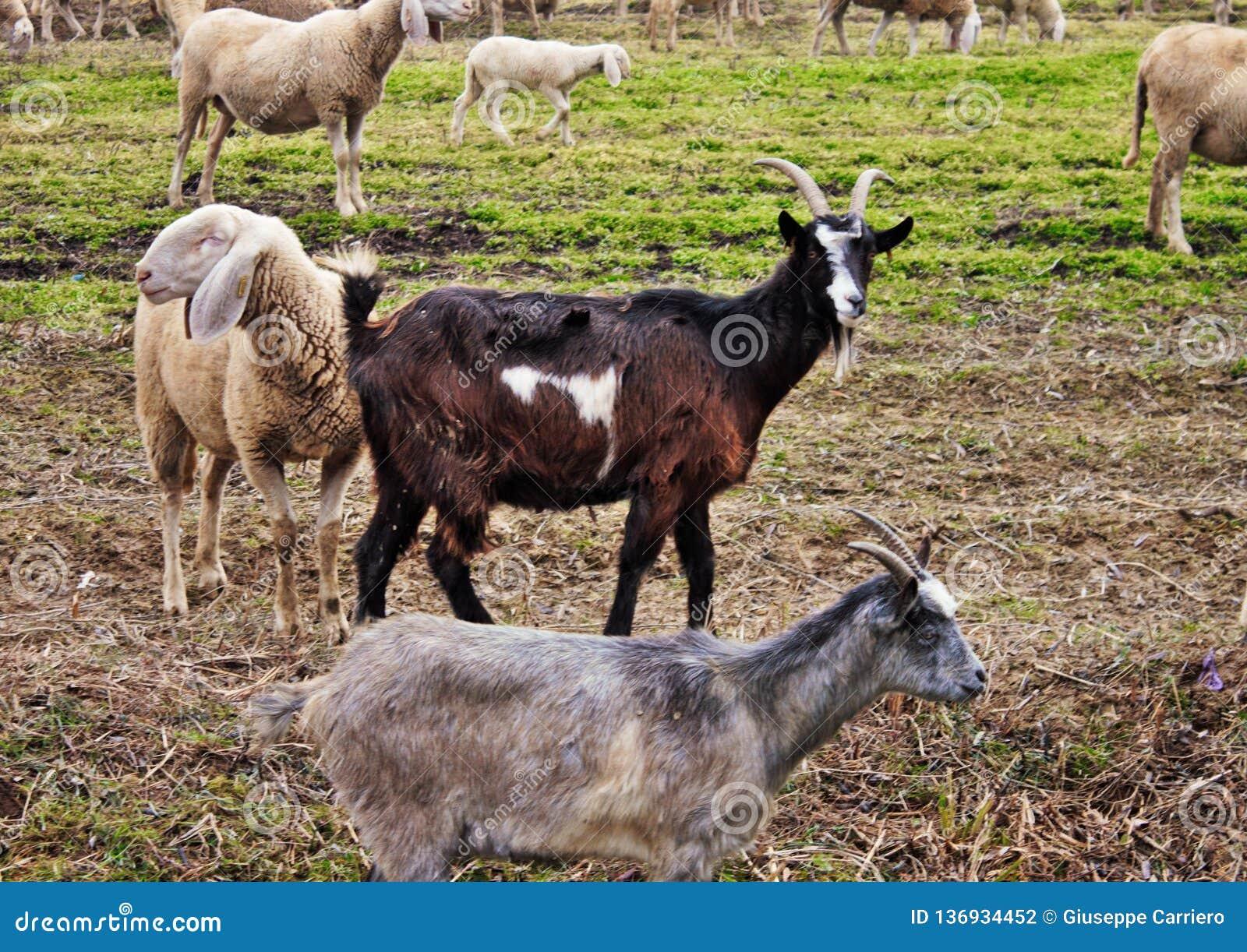 La moltitudine nella valle, le pecore e le capre sono mosse da un area verso un altra terra da parte a parte vuotata