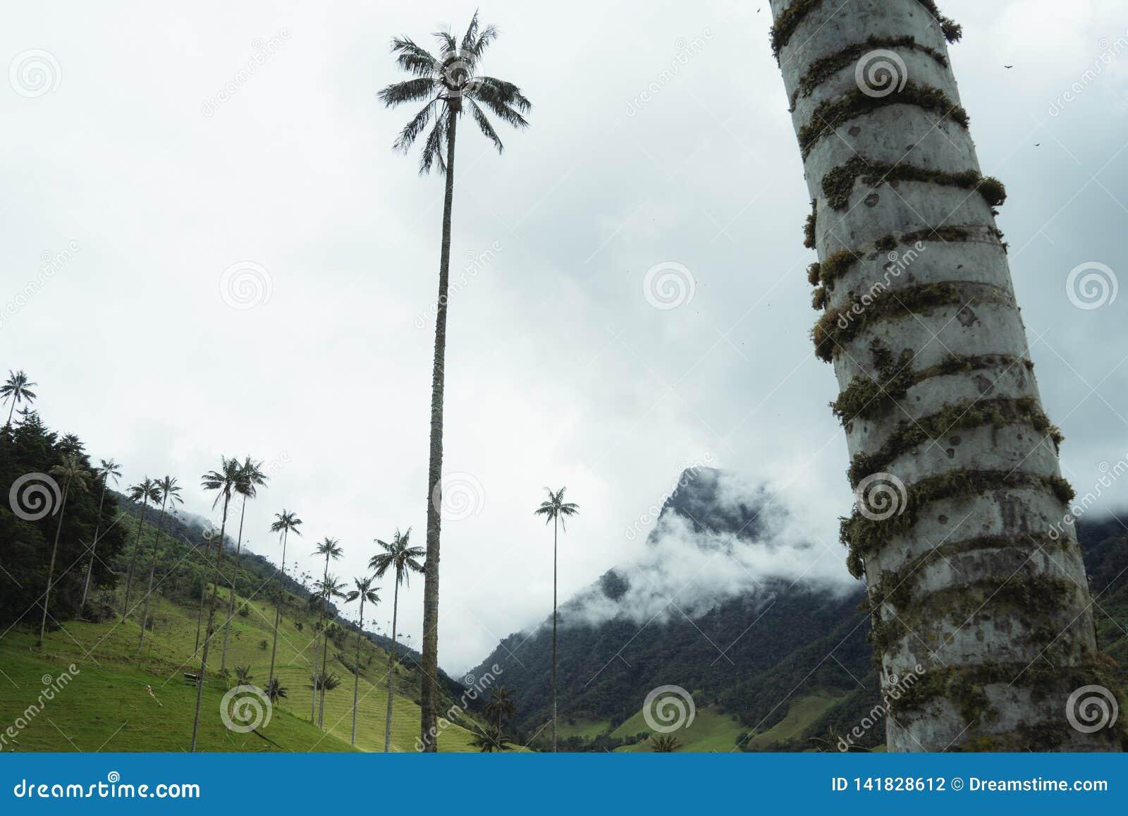 La montagne de vallée de Cocora de paumes opacifie les palmiers brumeux de stupéfaction
