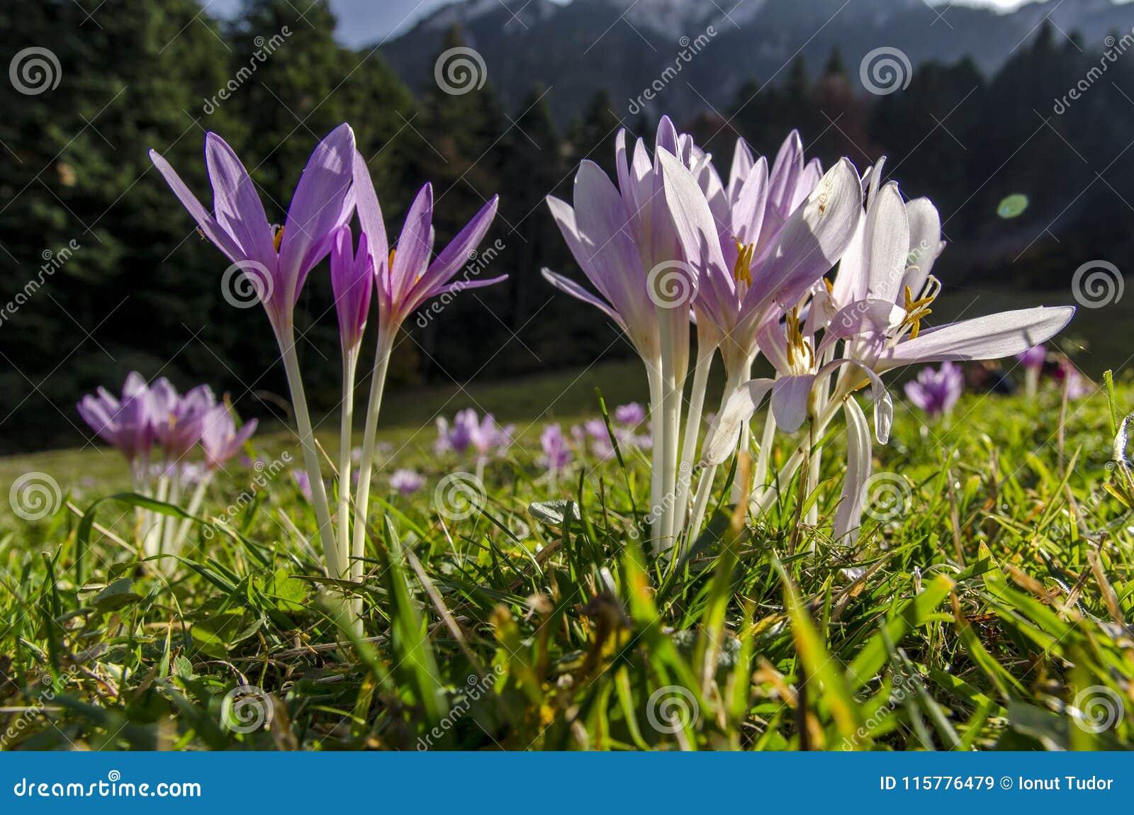 La montagne de violette pâle fleurit dans l herbe verte avec la forêt à l arrière-plan