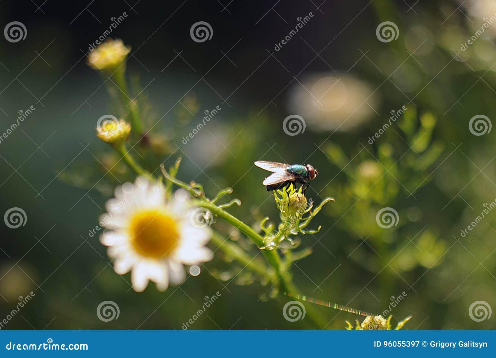 La mouche se repose sur les fleurs de camomille après la pluie dans le contre-jour du soleil