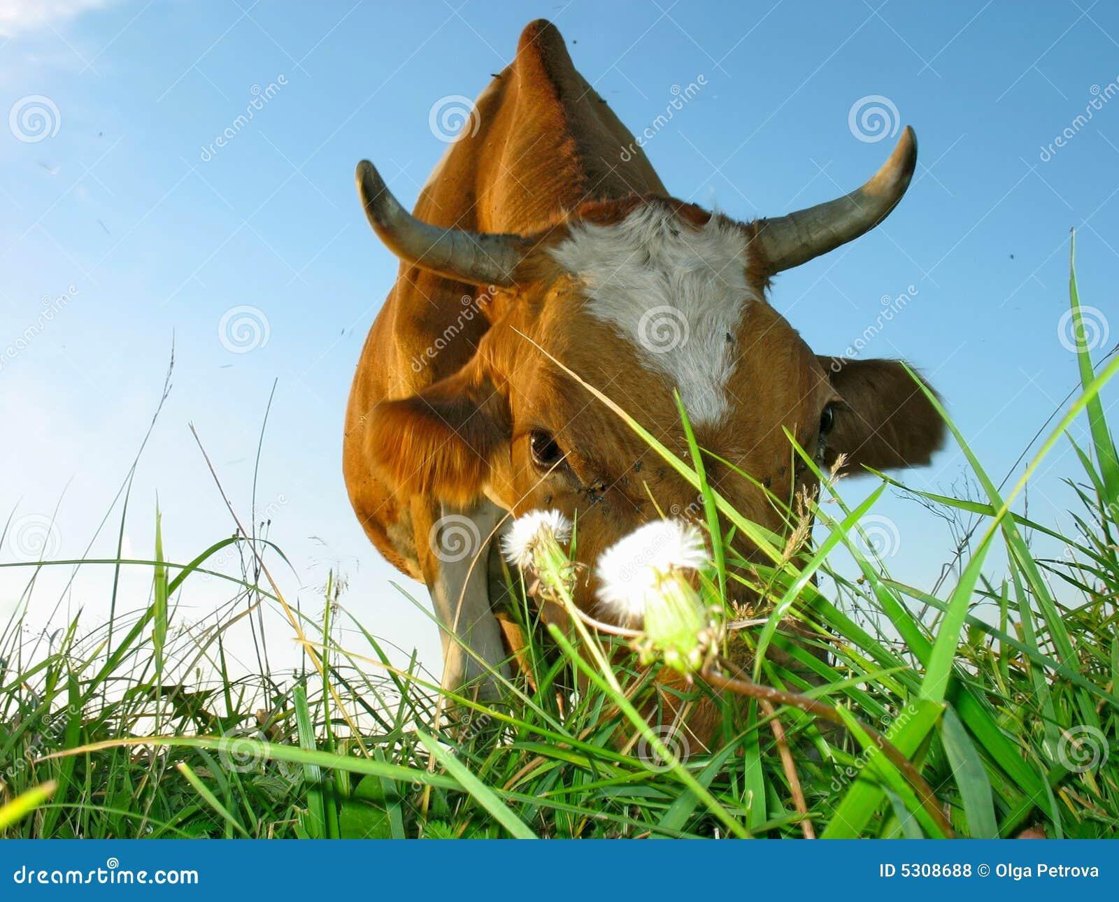Download La mucca mangia l'erba. fotografia stock. Immagine di estate - 5308688