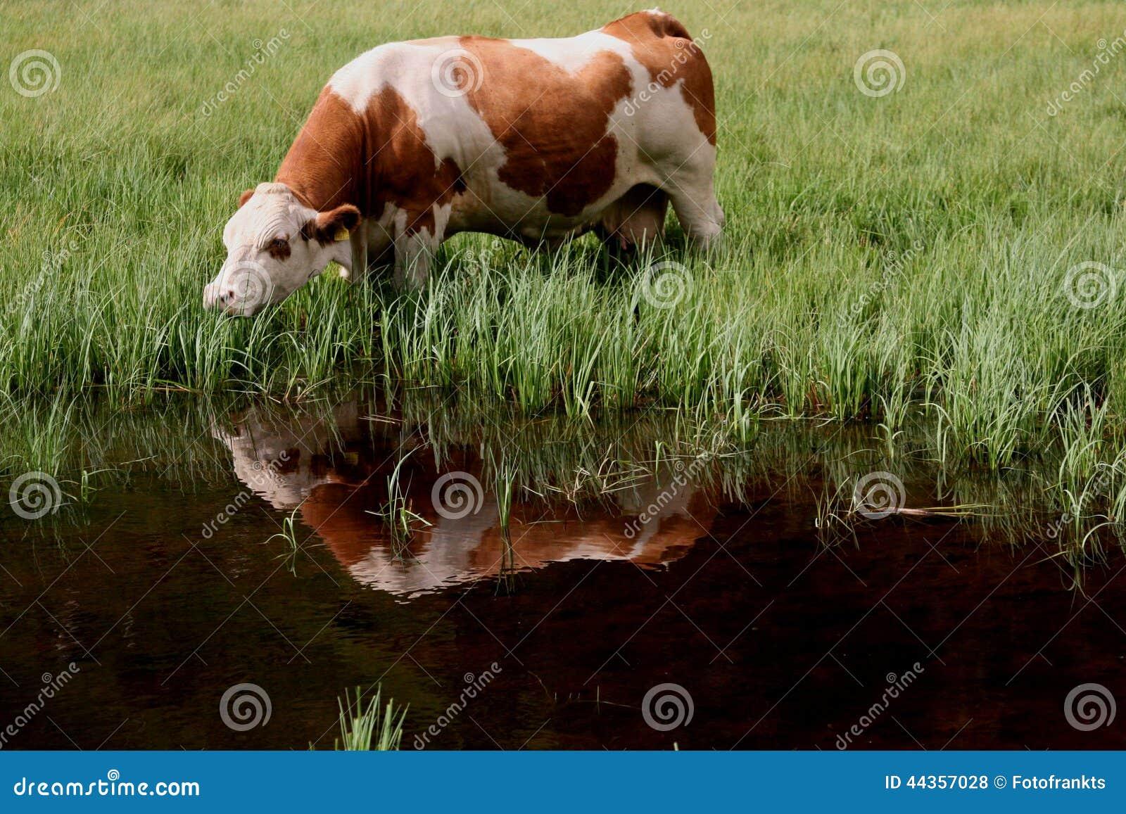 La mucca mangia la riflessione