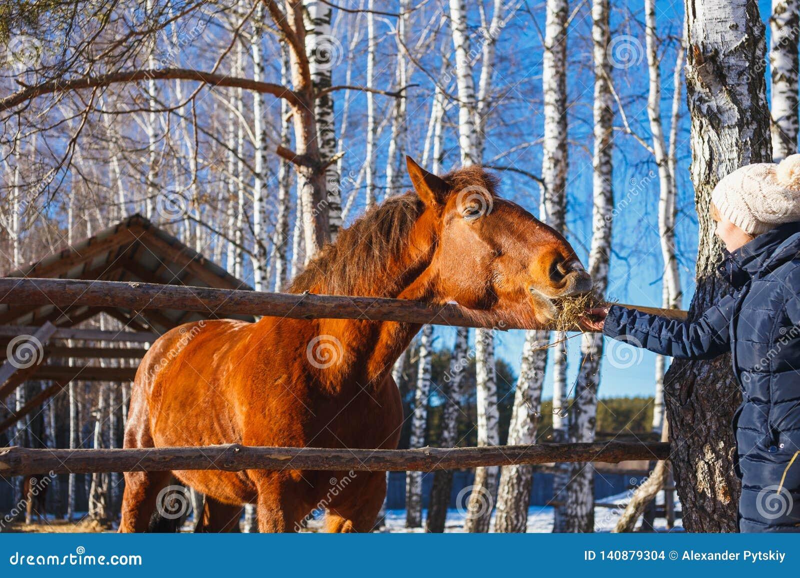 La muchacha da el heno del caballo con las manos extendidas