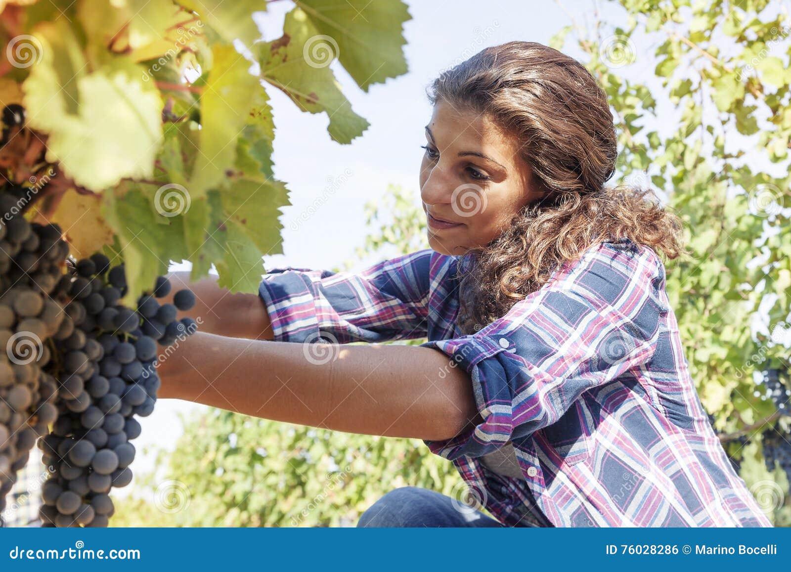 La mujer joven escoge las uvas en un viñedo