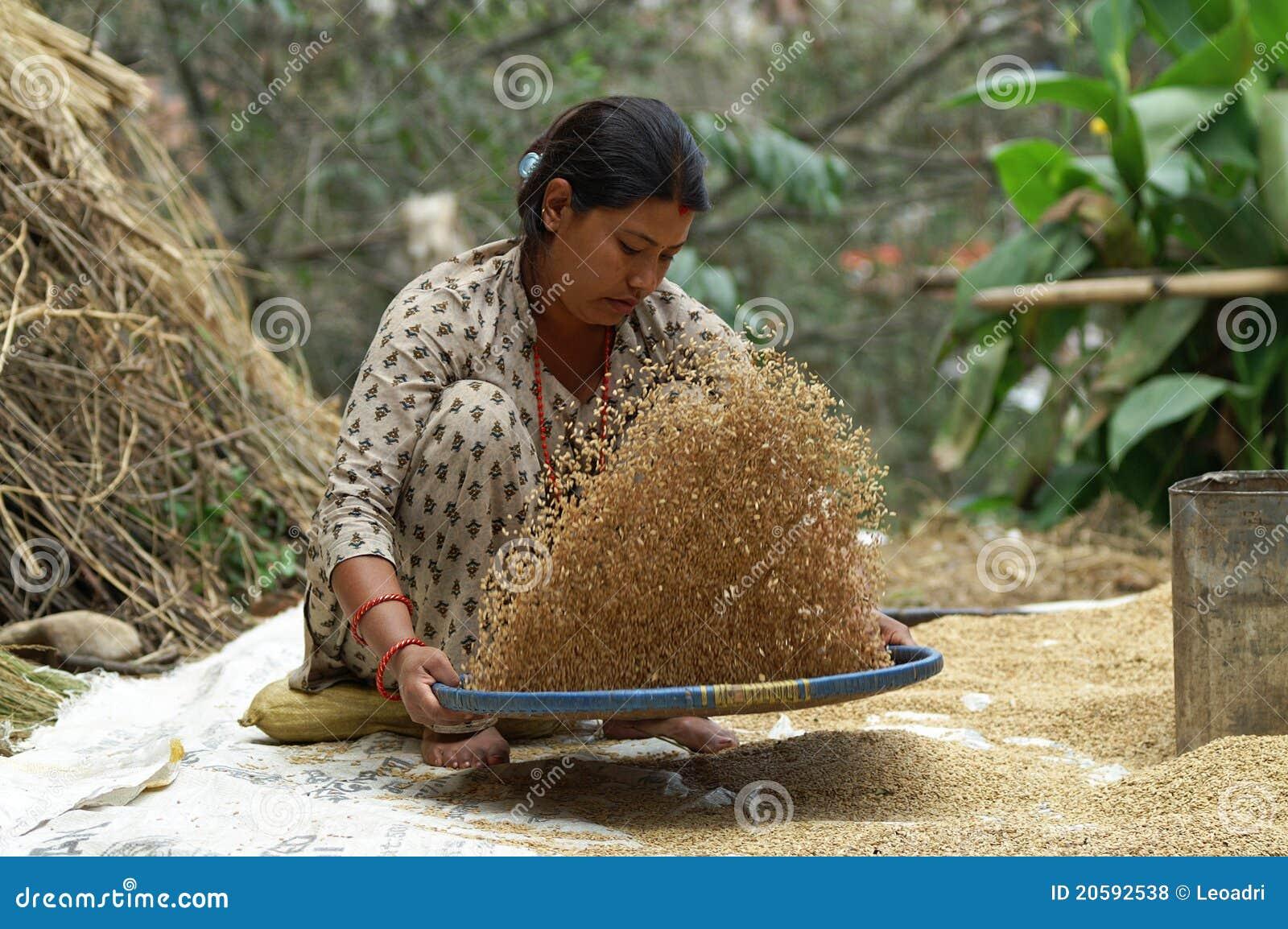 La mujer trabaja el trigo a los campos